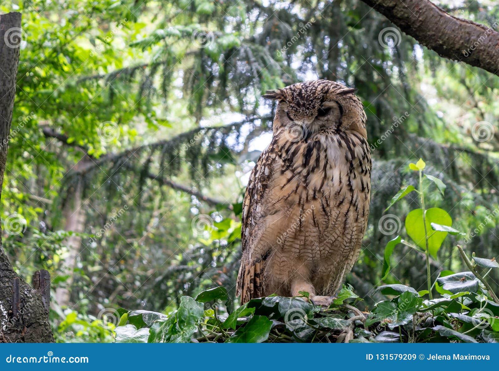 L Eagle-hibou indien, a également appelé le bengalensis de Bubo d Eagle-hibou de roche ou d Eagle-hibou du Bengale