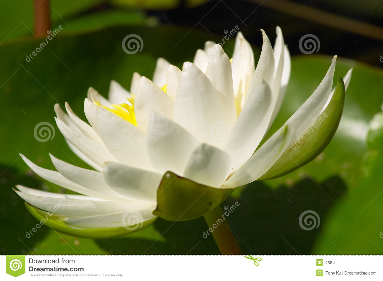 L eau blanche Lilly