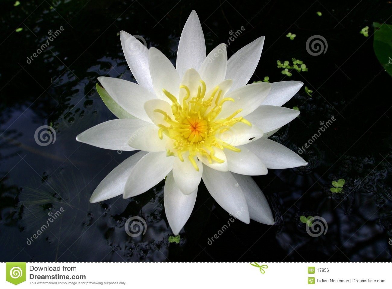 L eau lilly