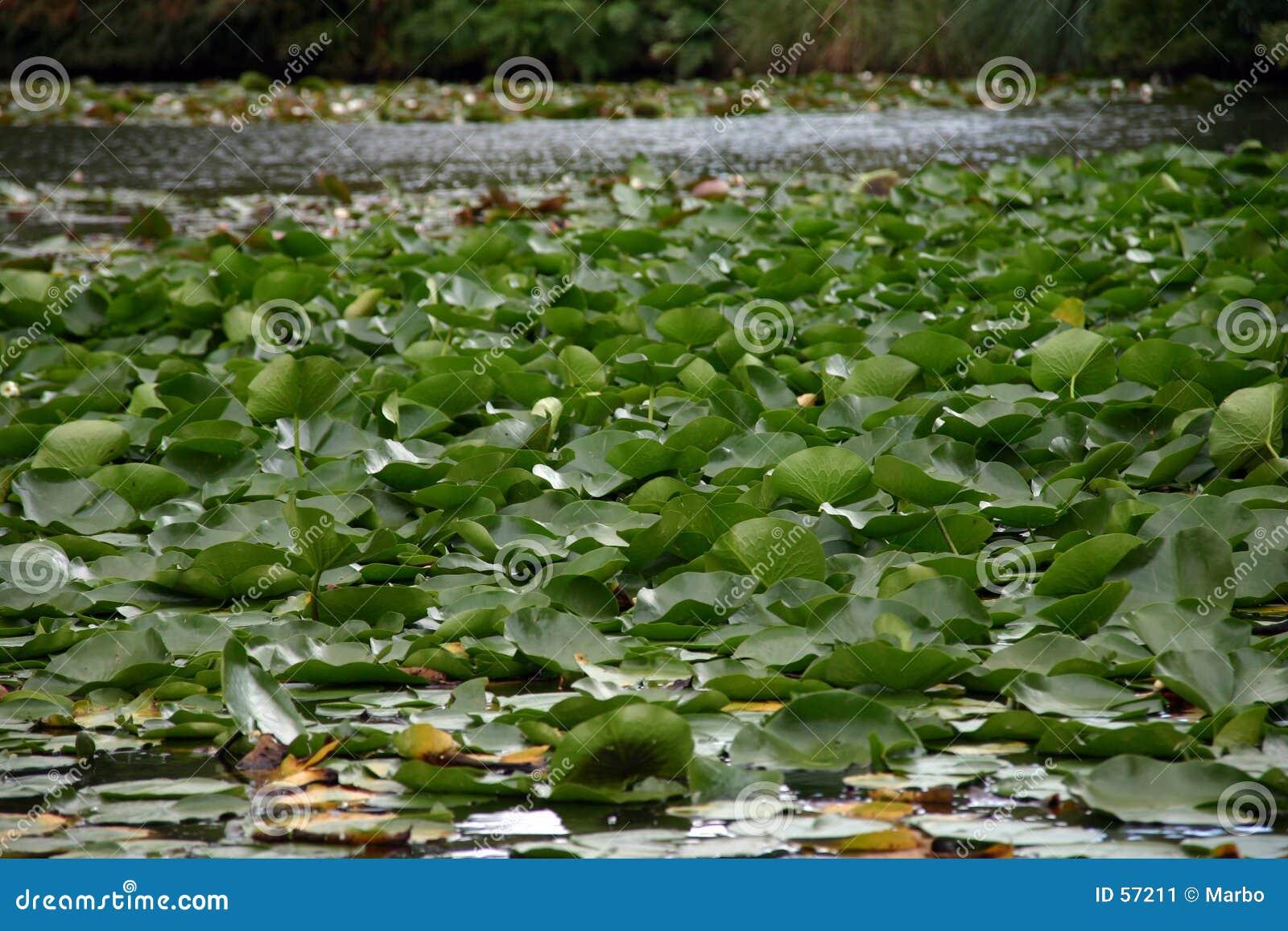 Download L'eau lilly image stock. Image du fleur, marais, vert, lilly - 57211