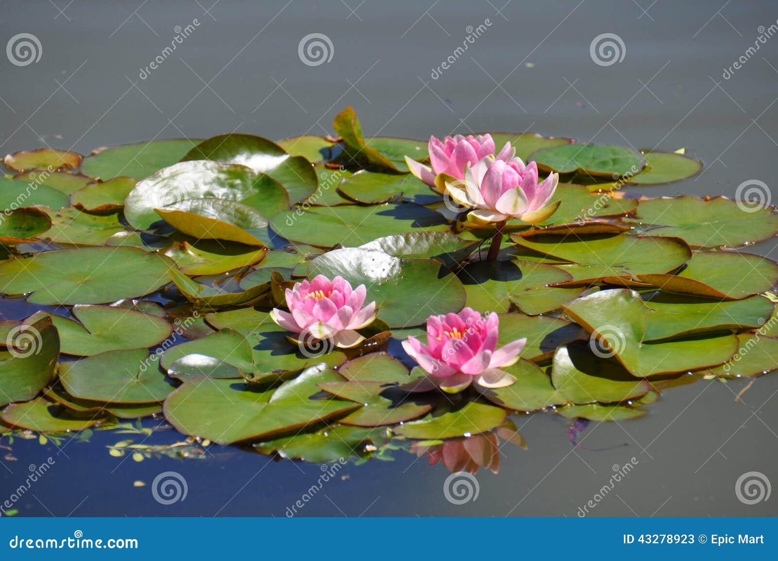 L eau Lilly - fleurs de Lotus sur des feuilles de grenouille