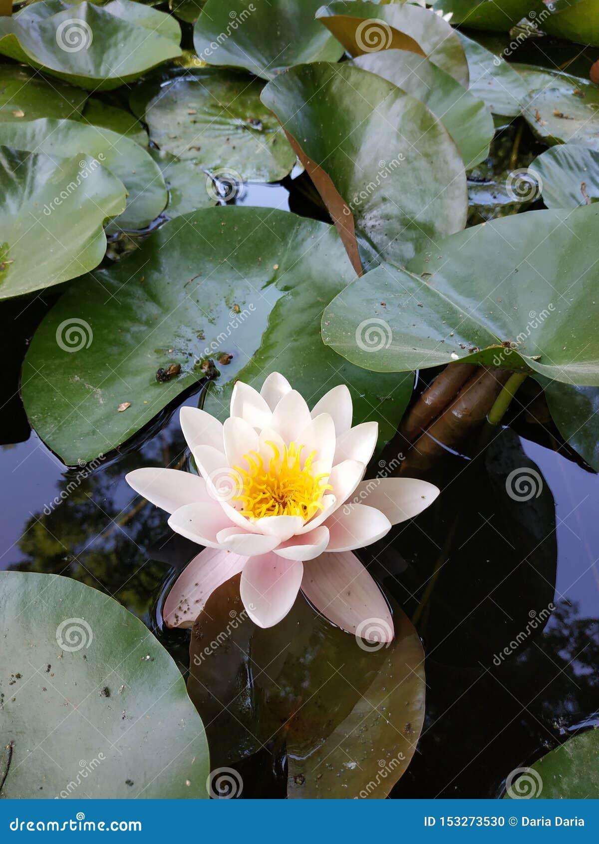L eau lilly