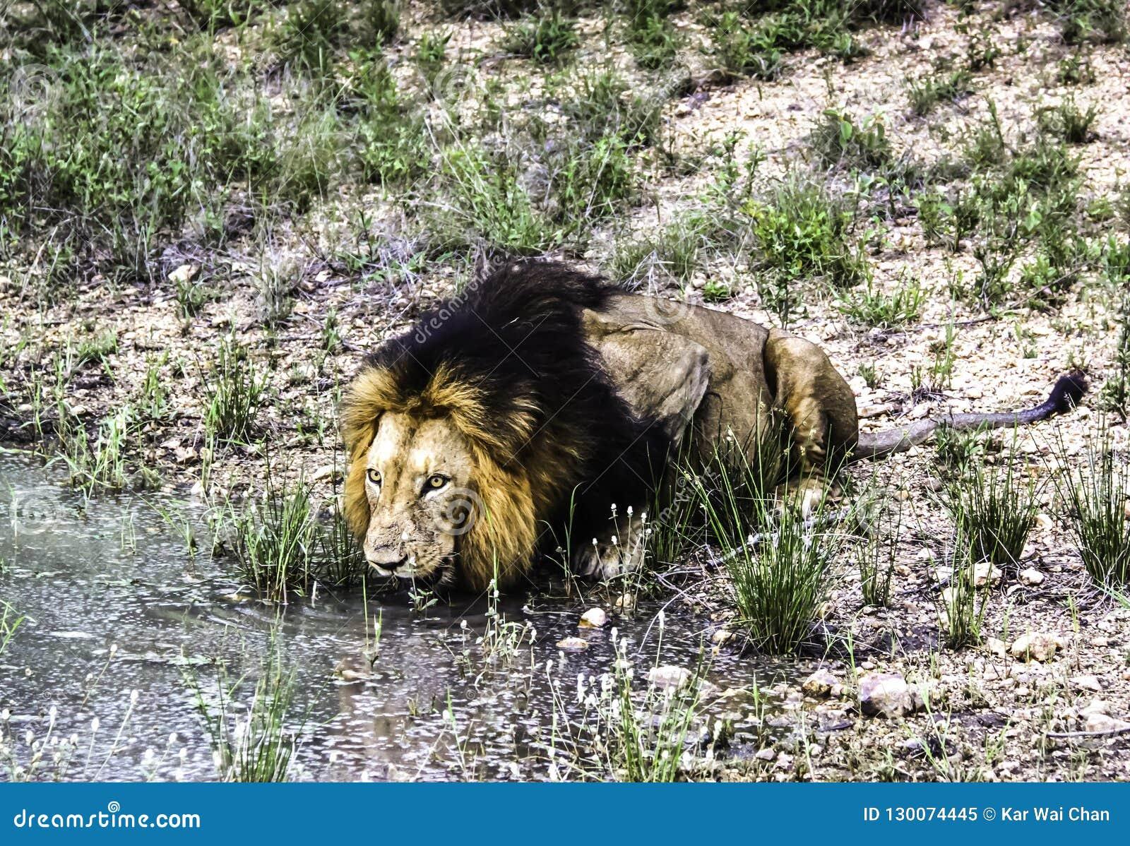 L eau masculine de boissons de lion d un étang au parc national de Kruger