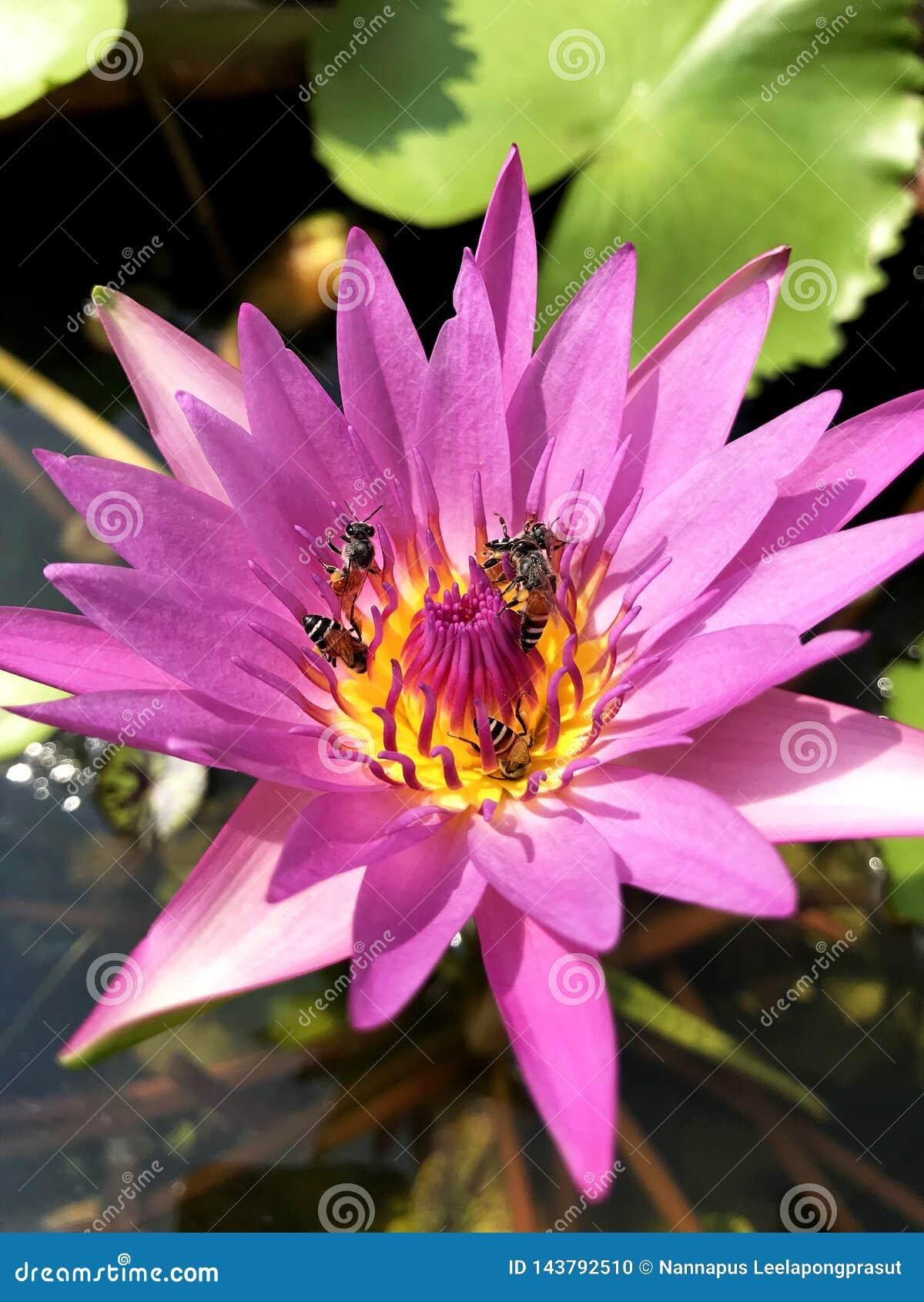 L eau rose de lis d abeille d insecte de lotus