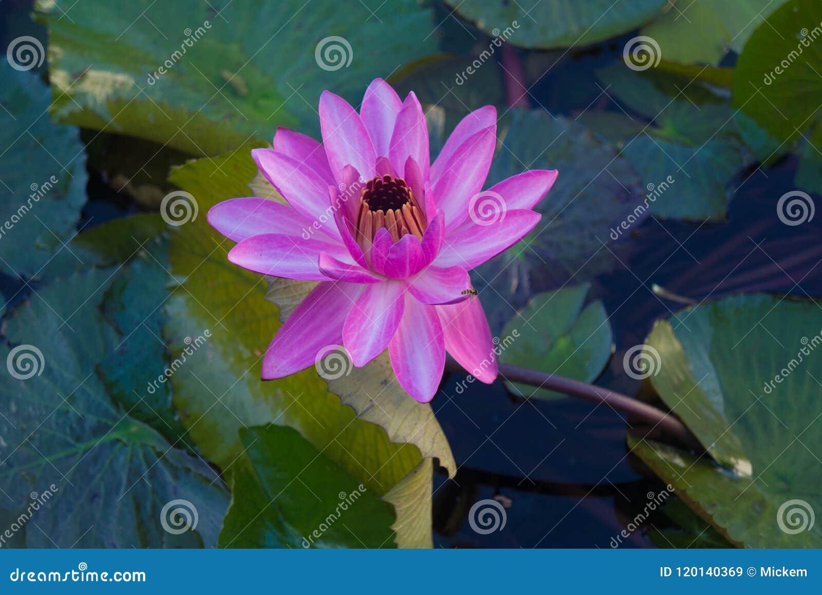 L eau rose Lily Solitude dans les tropiques