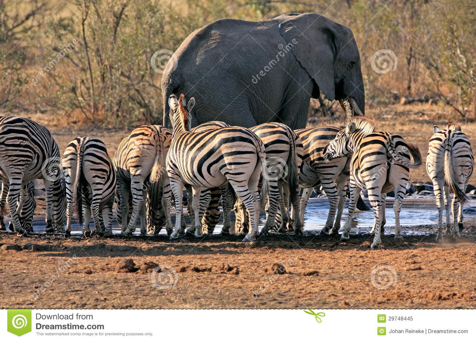 Elefante e zebra a waterhole