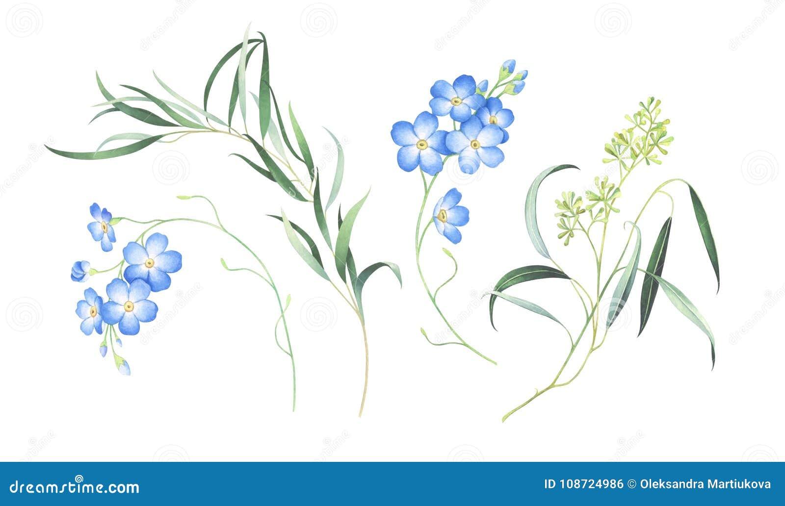 L ensemble d aquarelle de m oublient pas les fleurs et l eucalyptus d isolement sur le fond blanc