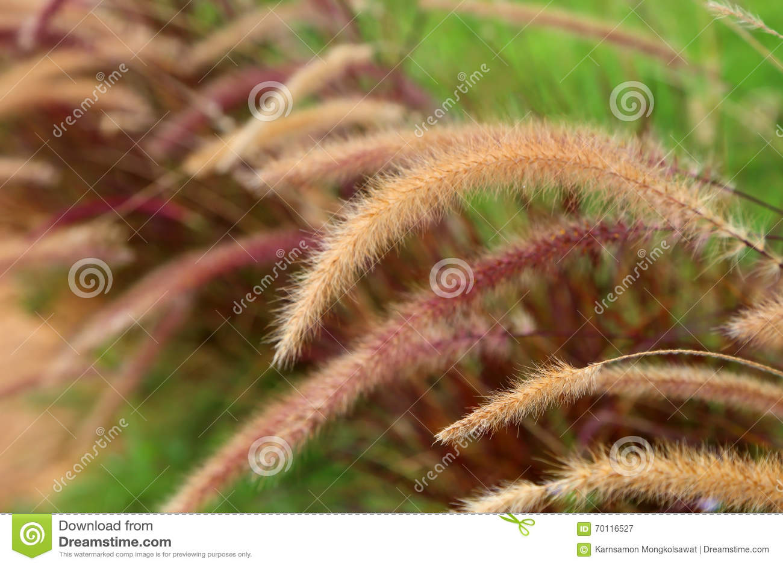 L erba dell erbaccia della coda di volpe fiorisce, fondo vago natura