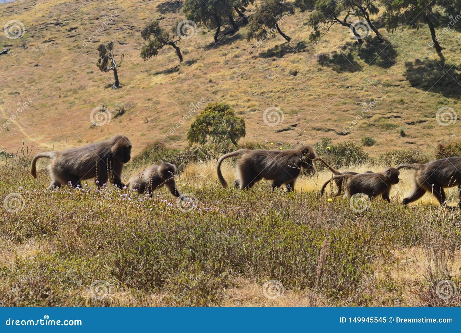 L ethiopie Gelada est des espèces rares de primat