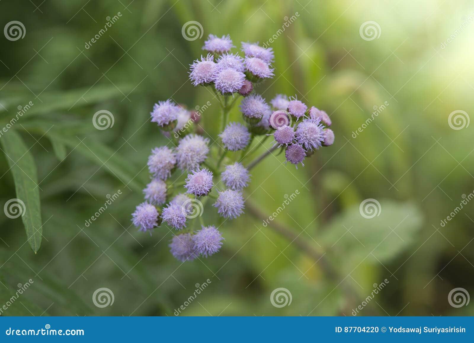 L herbe de fines herbes sauvage verte fleurit Vernonia cinerea moins , Peu