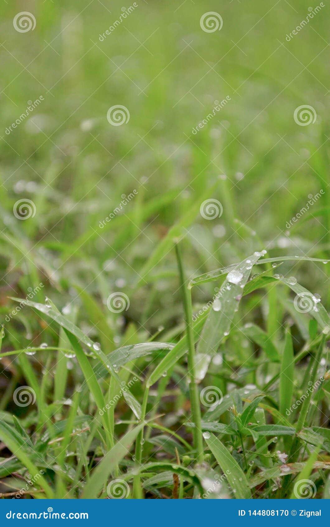 L herbe sur la pluie