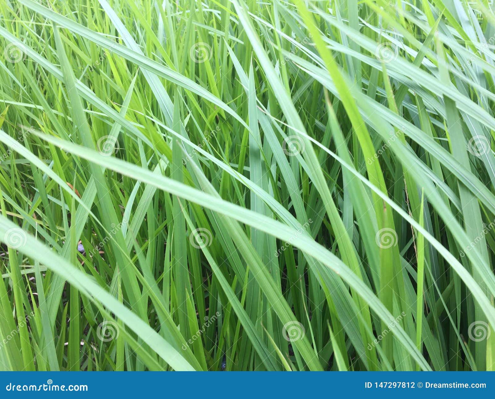 L herbe verte se développe tout autour du fond