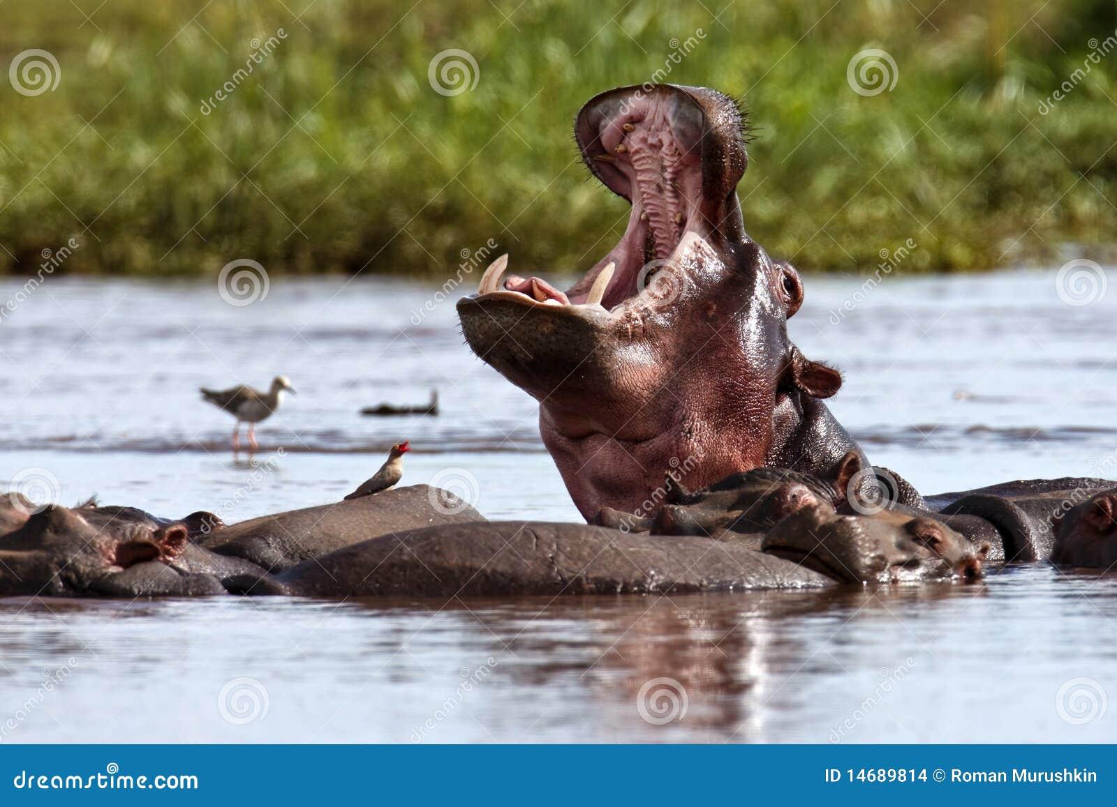 L hippopotame est dans le lac et baîlle