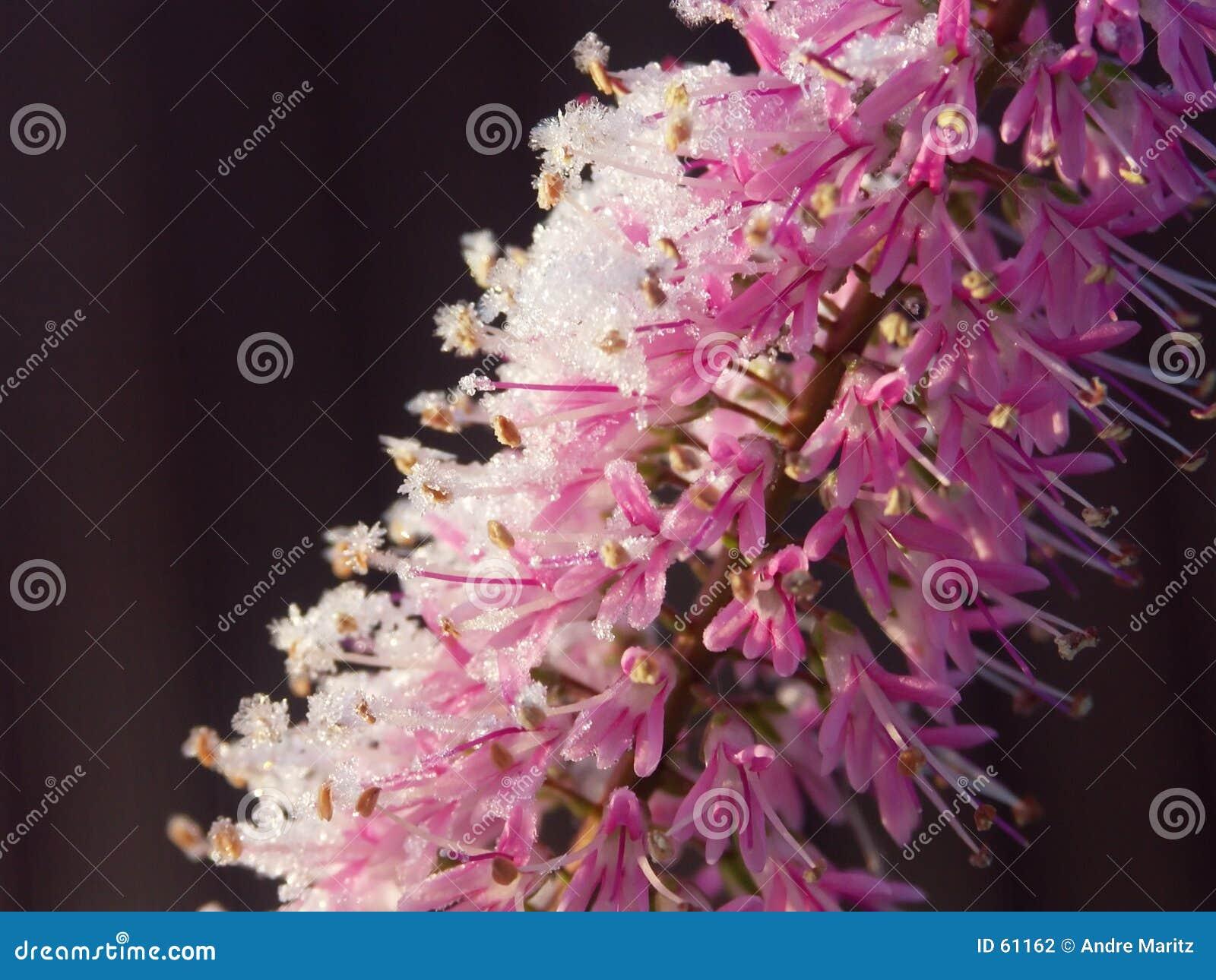 Download L'hiver fleurit #1 photo stock. Image du buisson, faune - 61162