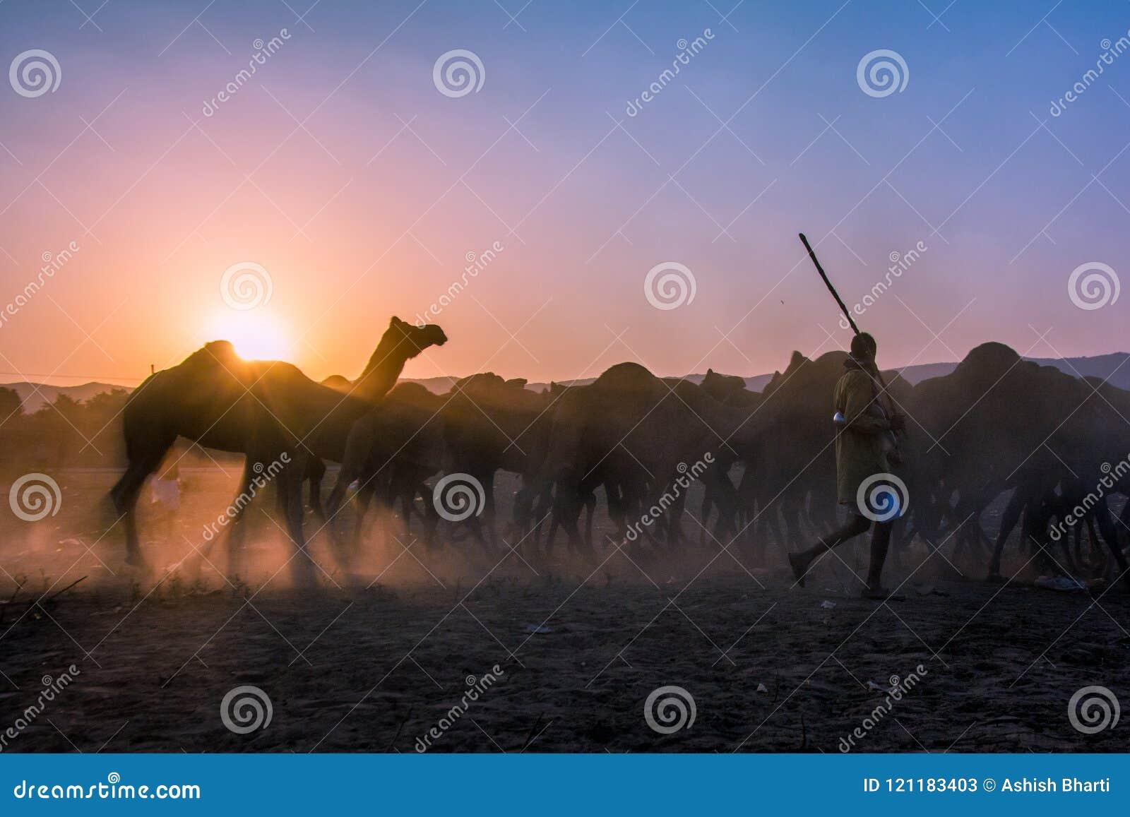 L homme de chameau entrant ses chameaux dans le carnaval a rectifié dans le chameau de Pushkar juste