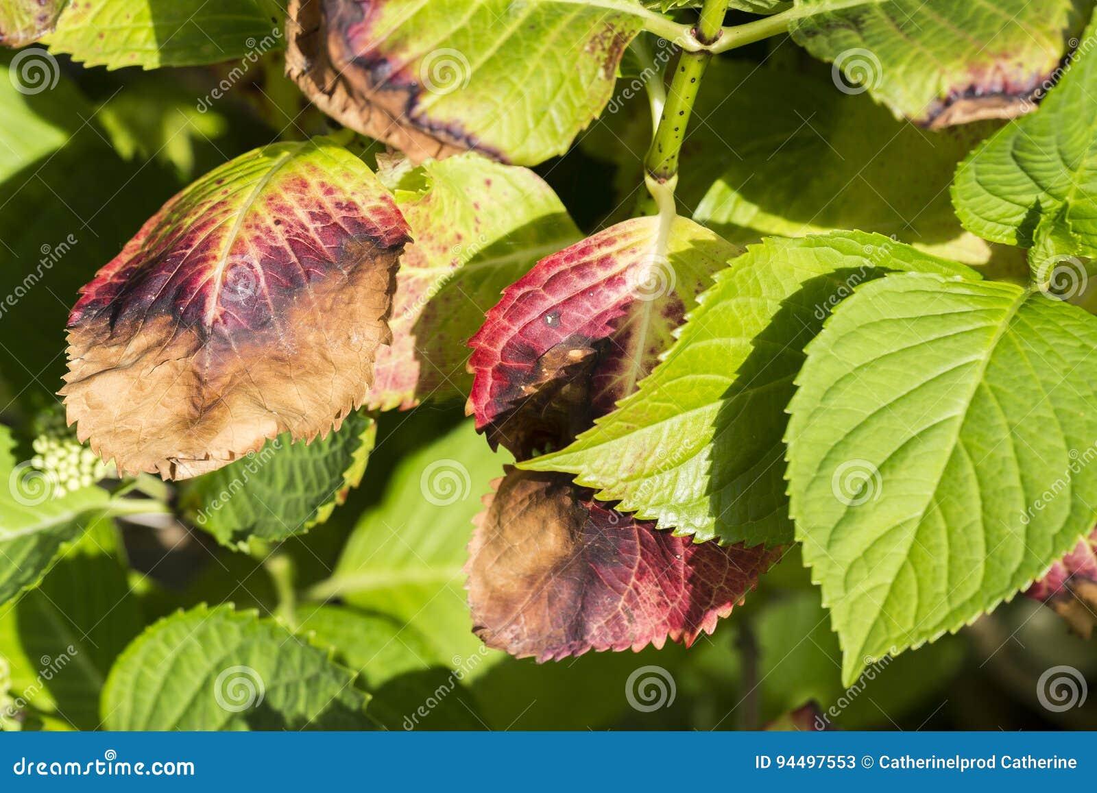 L 39 hortensia laisse la maladie congel e photo stock image 94497553 - Maladie des hortensias photos ...