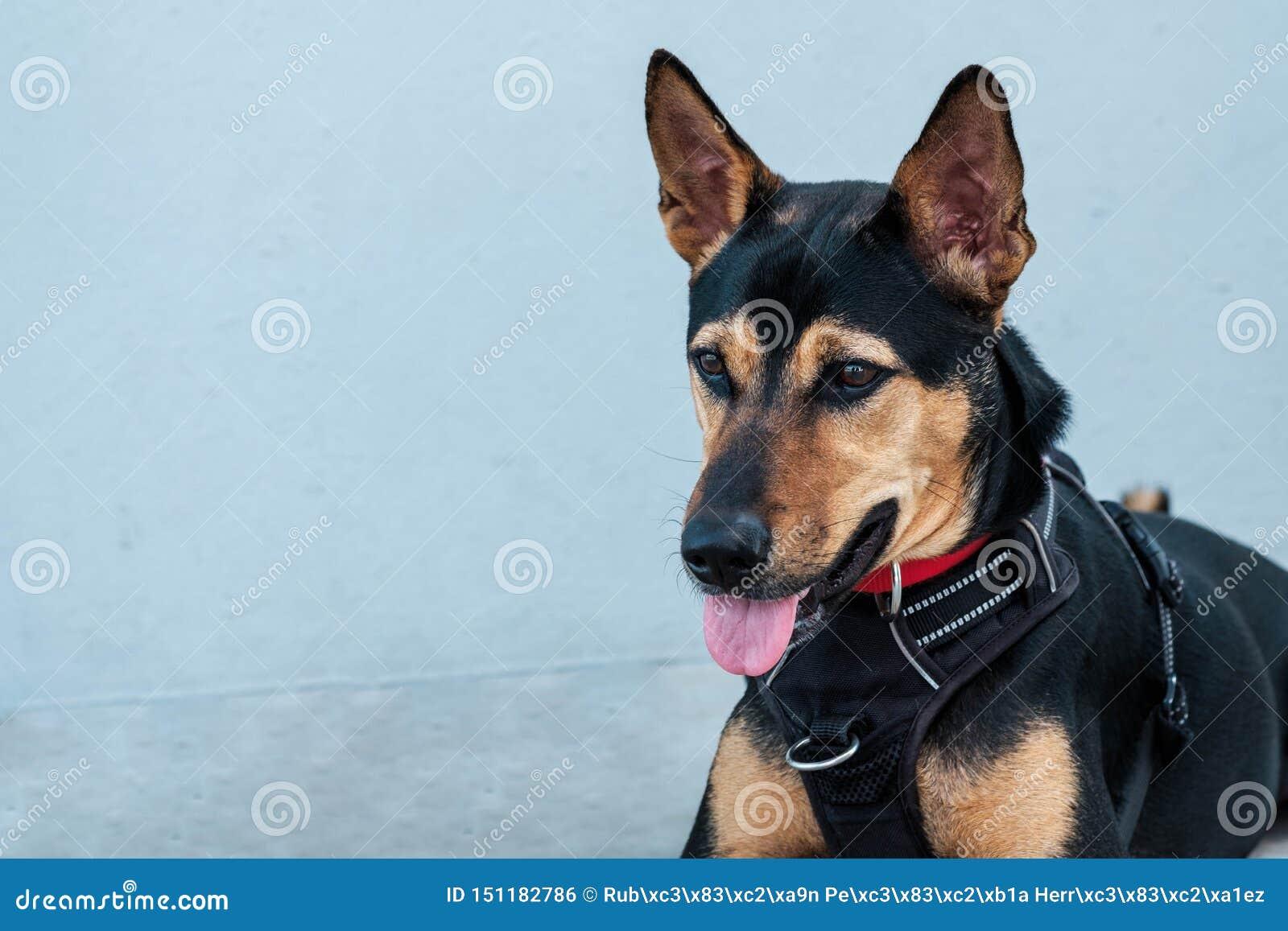 L ibrido smarrito ha salvato il cane tailandese che riposa il fondo grigio molle