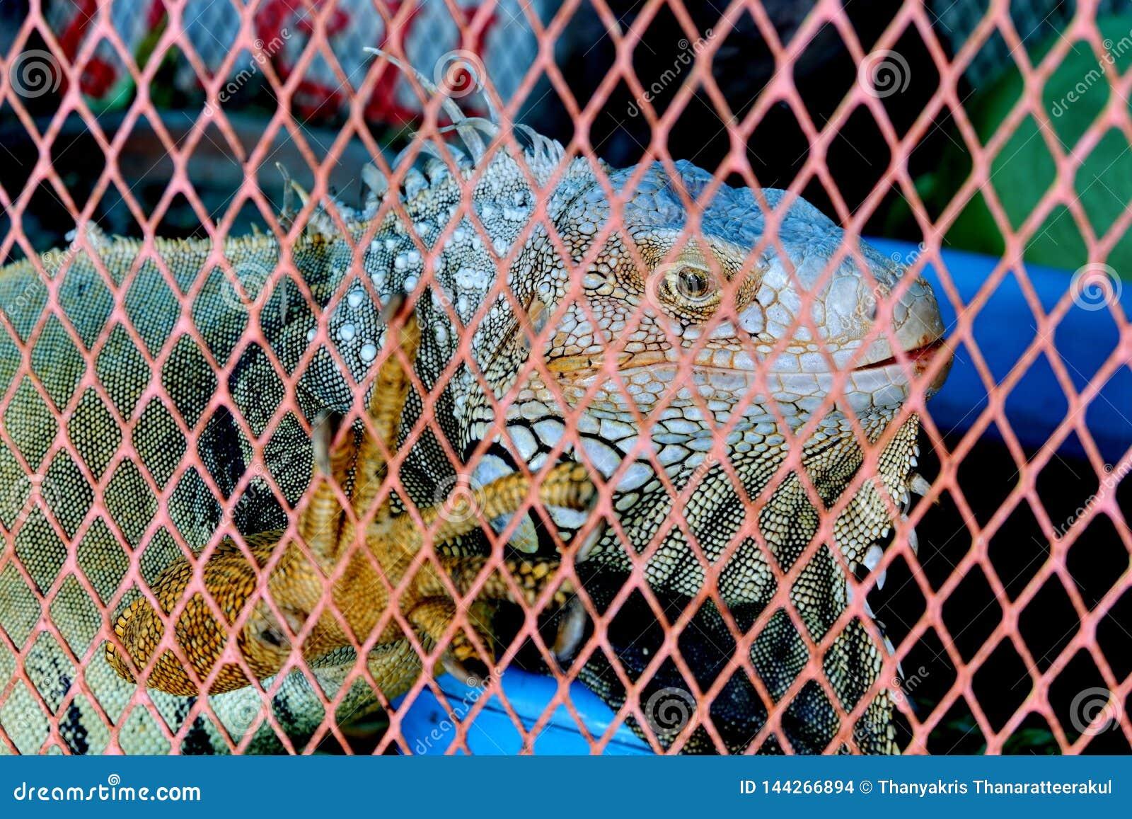 L iguane a gesticulé dans la cage