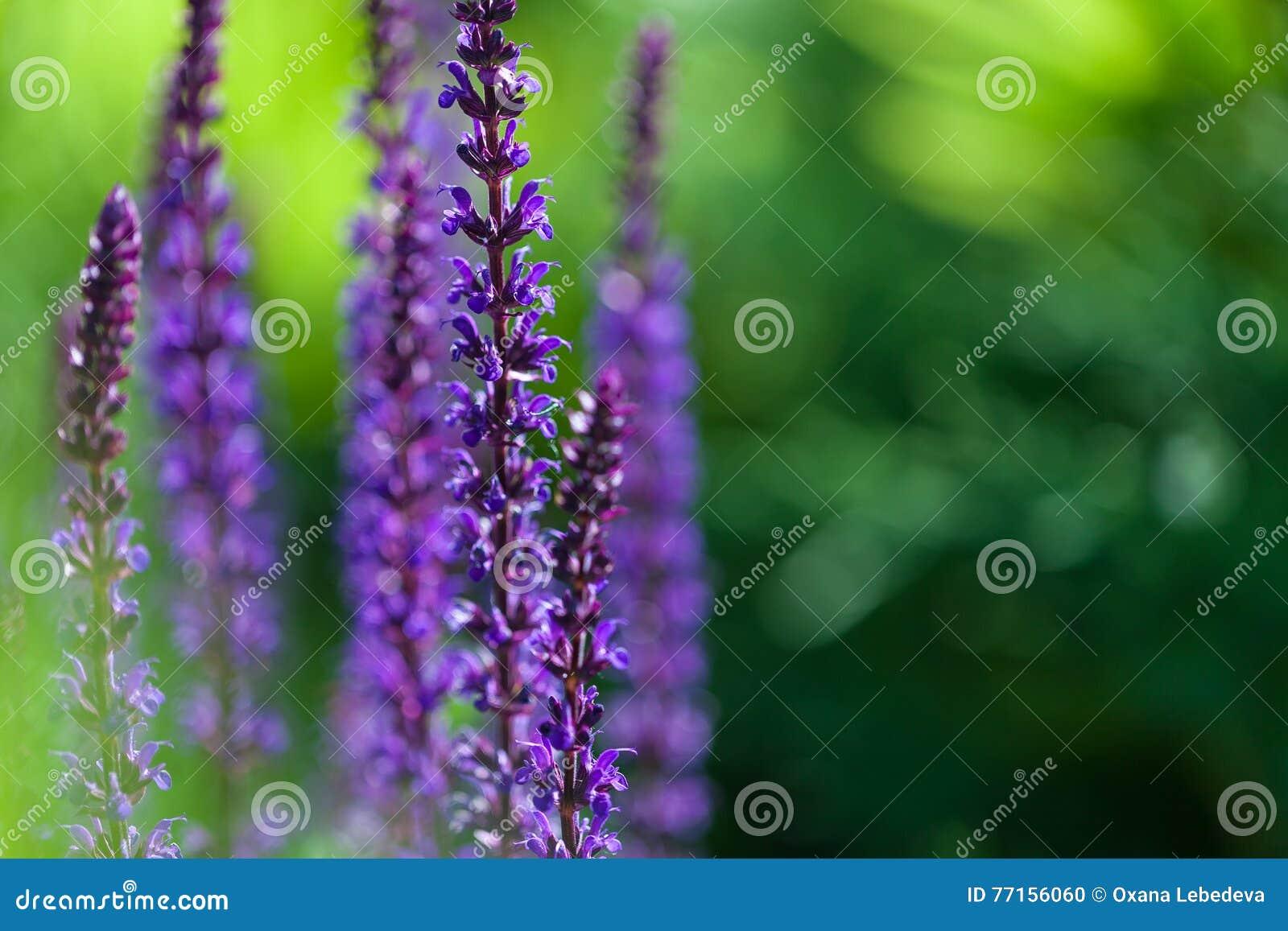 L image de plan rapproché de la lavande violette fleurit dans le domaine dans le jour ensoleillé