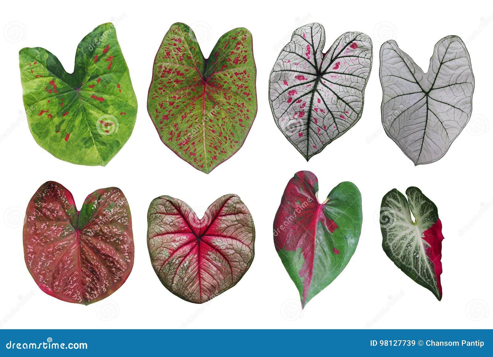 L immaginazione a forma di cuore ha coperto di foglie raccolta variegata Caladium, il TR