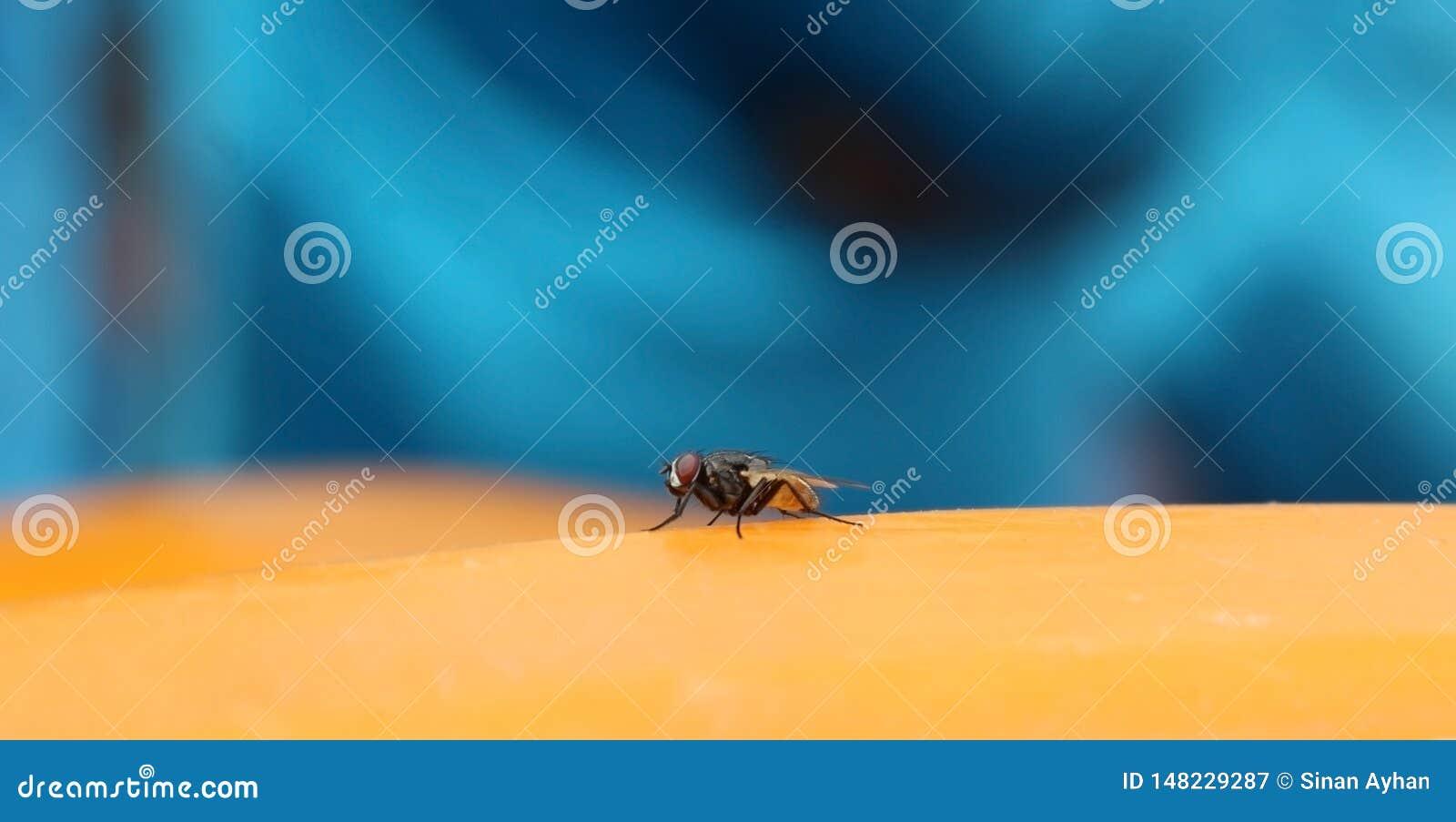L insecte de mouche domestique se reposant sur la surface jaune