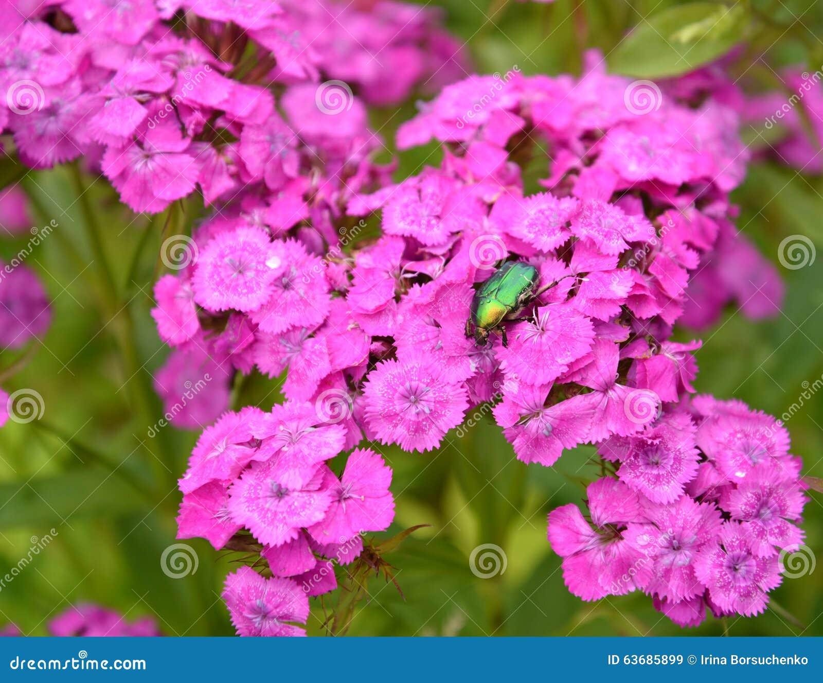 l'insecte qu'un scarabée rose se repose sur des fleurs de l