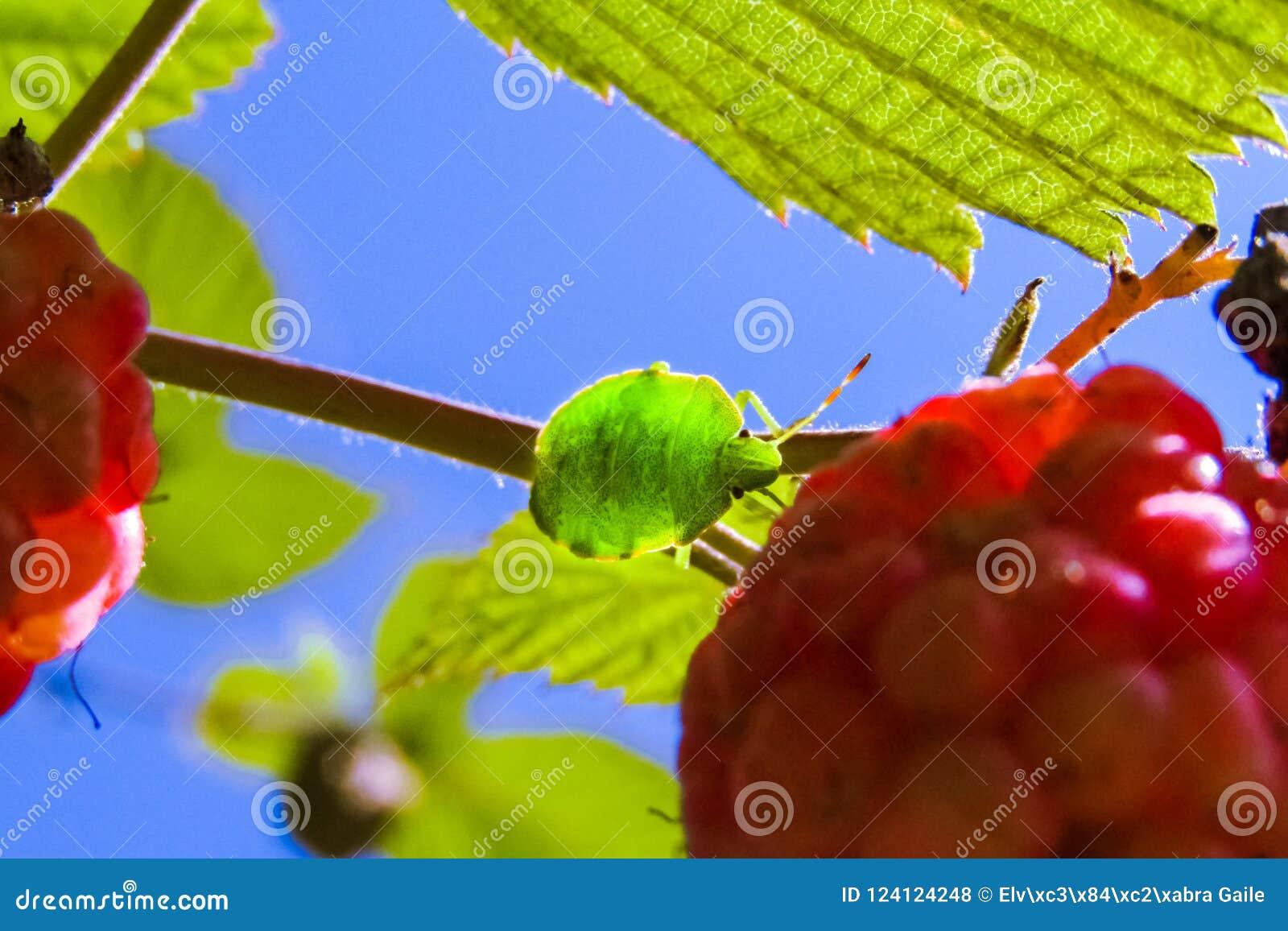 L insecte que le prasina vert de Palomena de bouclier d arbre se repose dans les feuilles