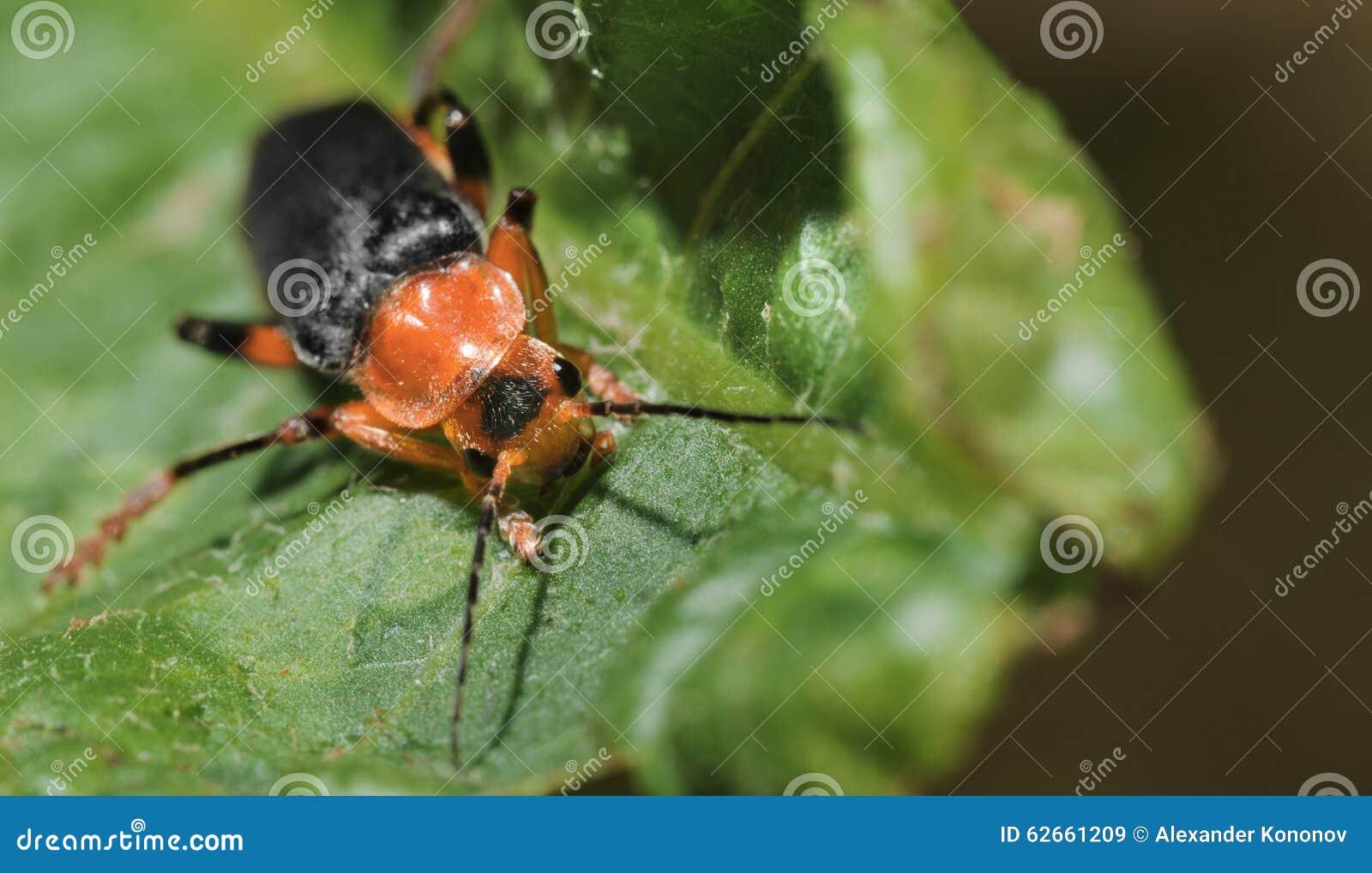 L 39 insecte rouge et noir photo stock image 62661209 - Insecte rouge et noir ...