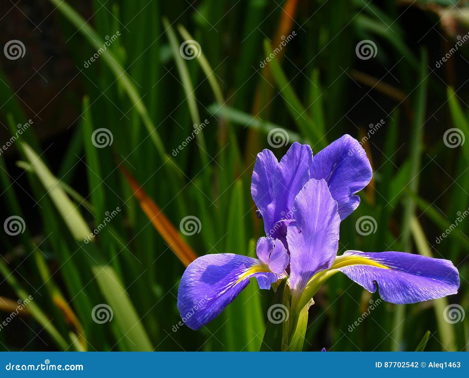 L iris est un symbole de force et d éloquence