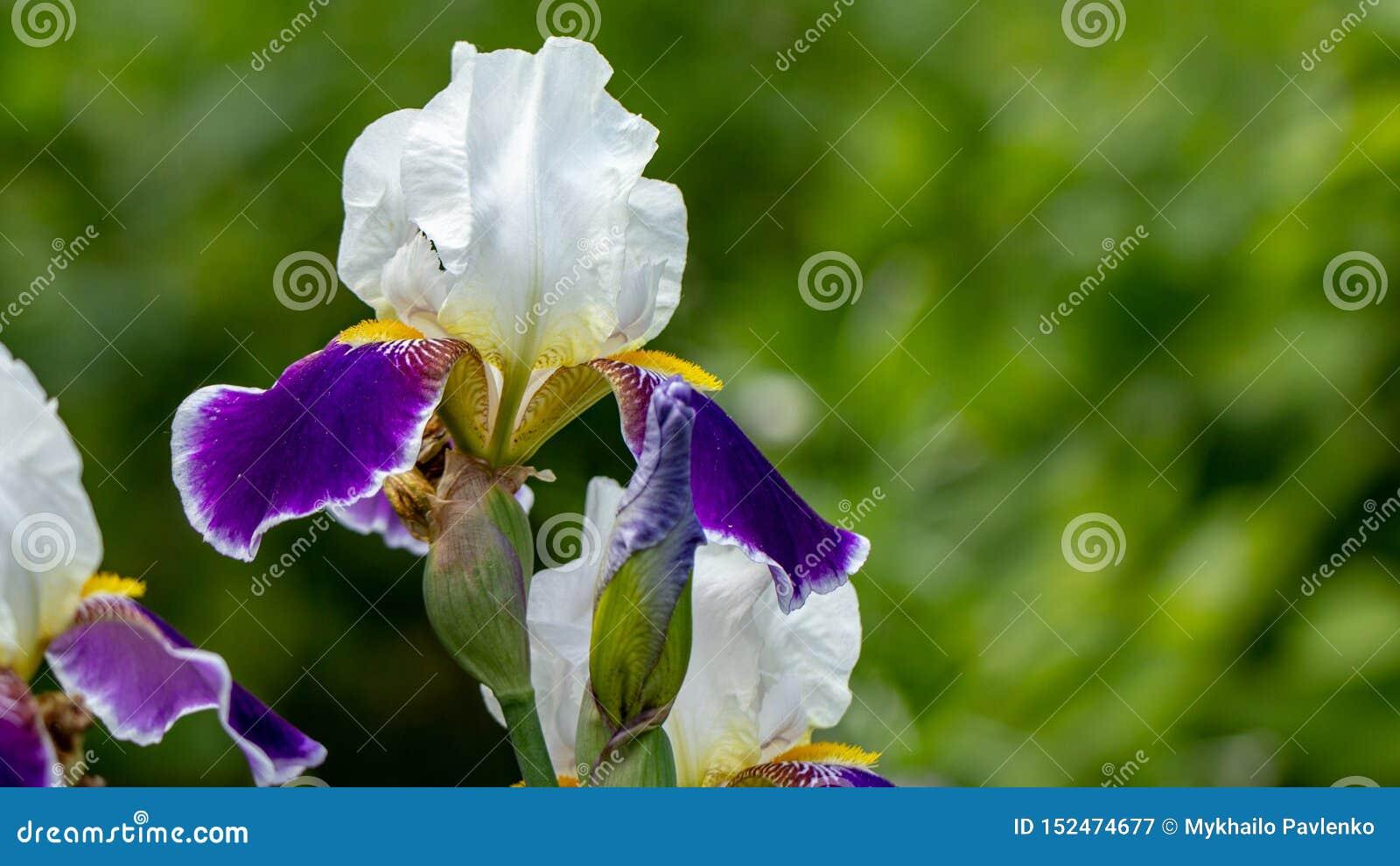 L iris lilas violet de floraison de fleurs de fond se développent dans un parterre