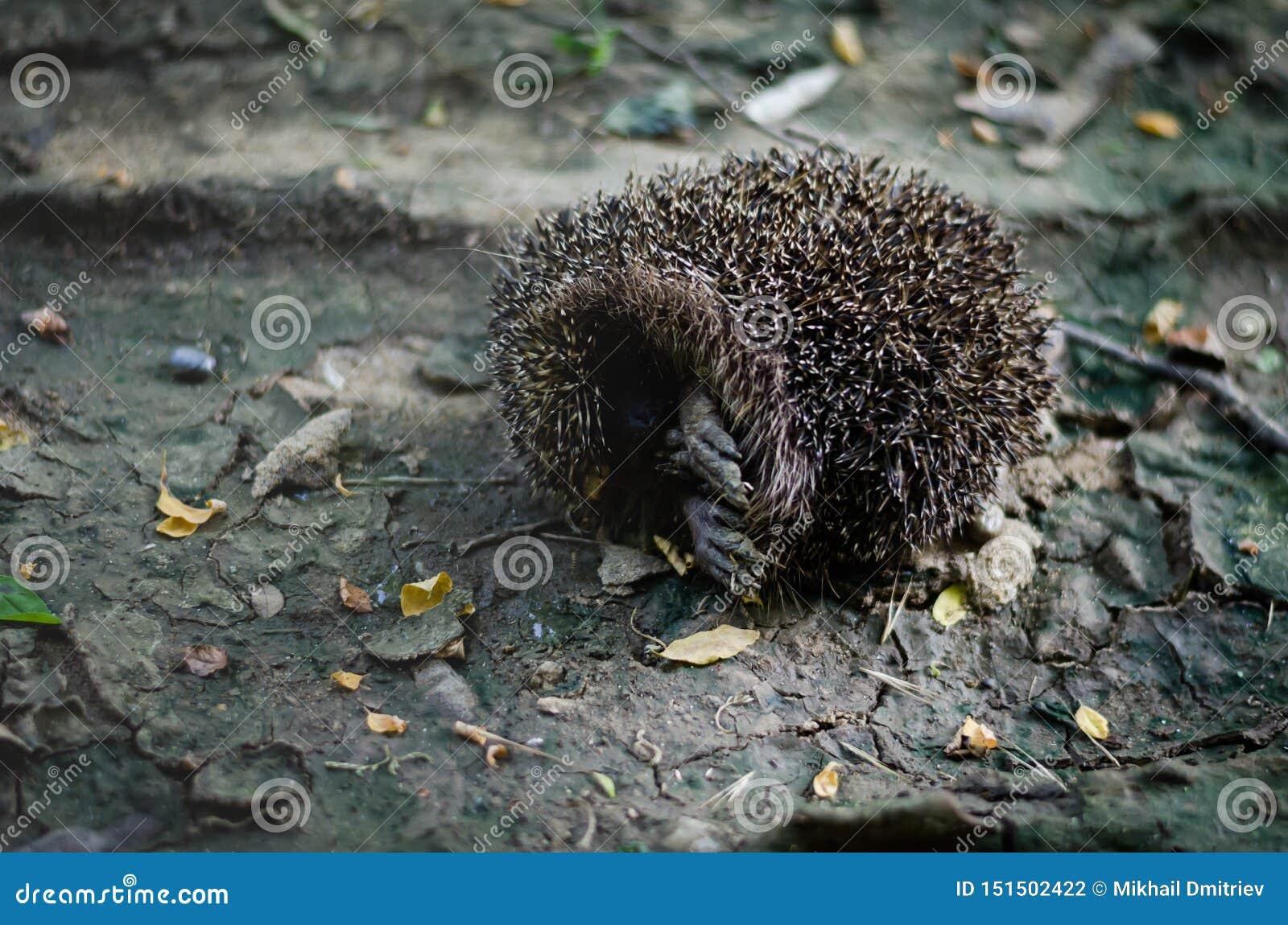 L istrice della foresta si è accartocciato ed attaccato fuori le sue zampe Istrice della palla della punta su un sentiero foresta