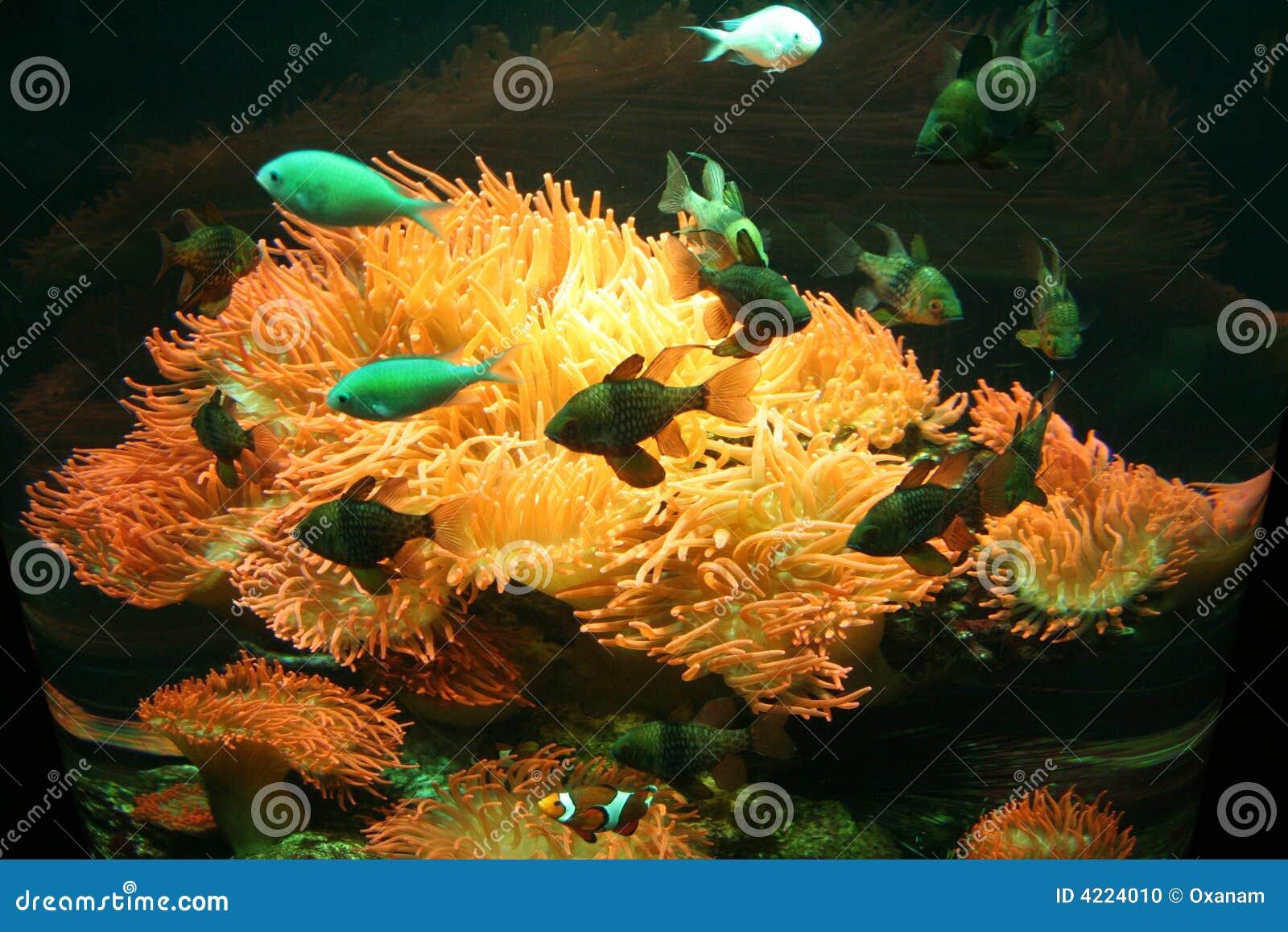 L Italia. Genova. Anemone e pesci in un acquario
