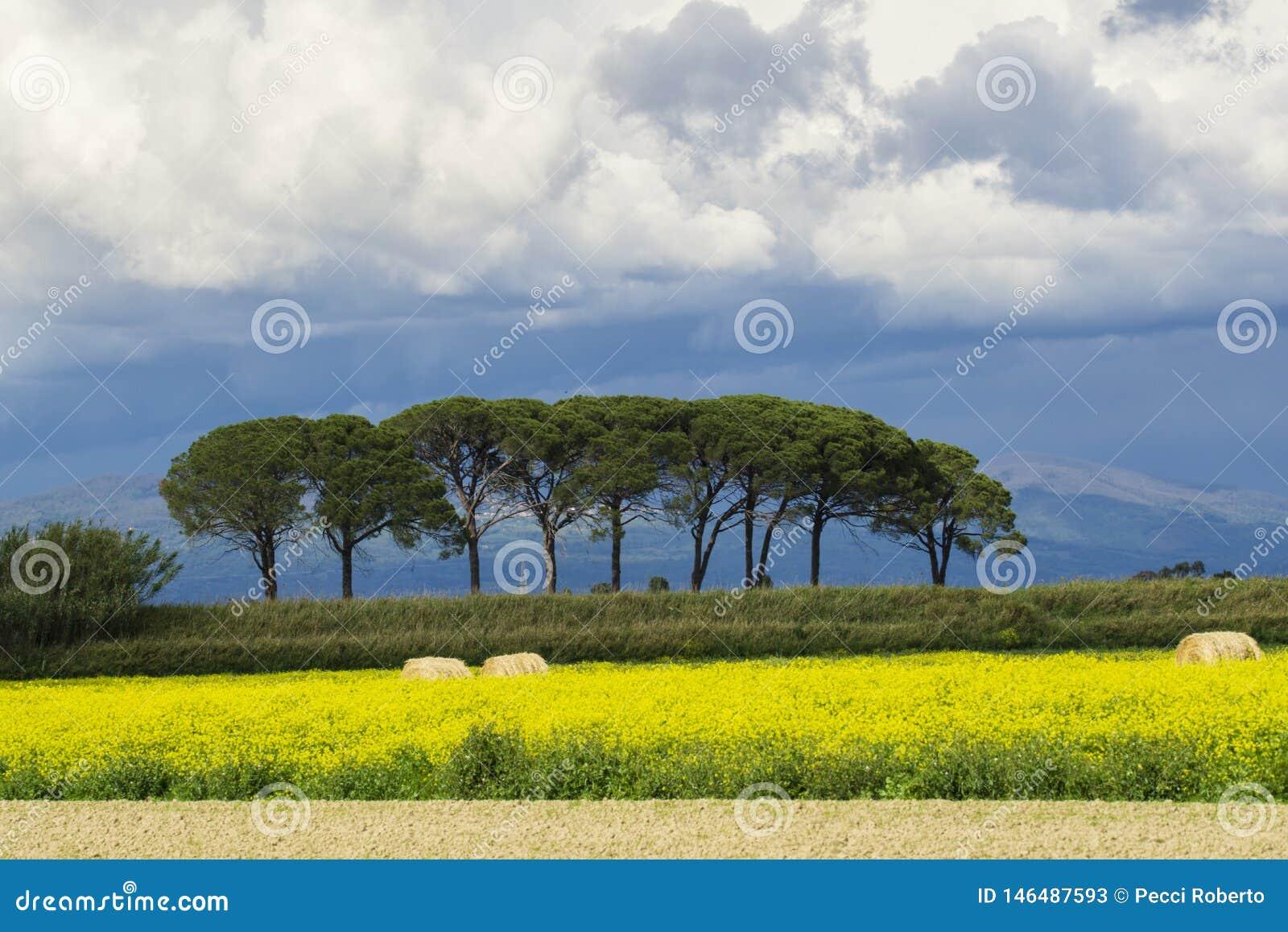L?ndliche Landschaft Italiens Toskana Grosseto Maremma auf Bl?te, den Rapssamengebieten in bl?henden H?geln und Kiefernwald