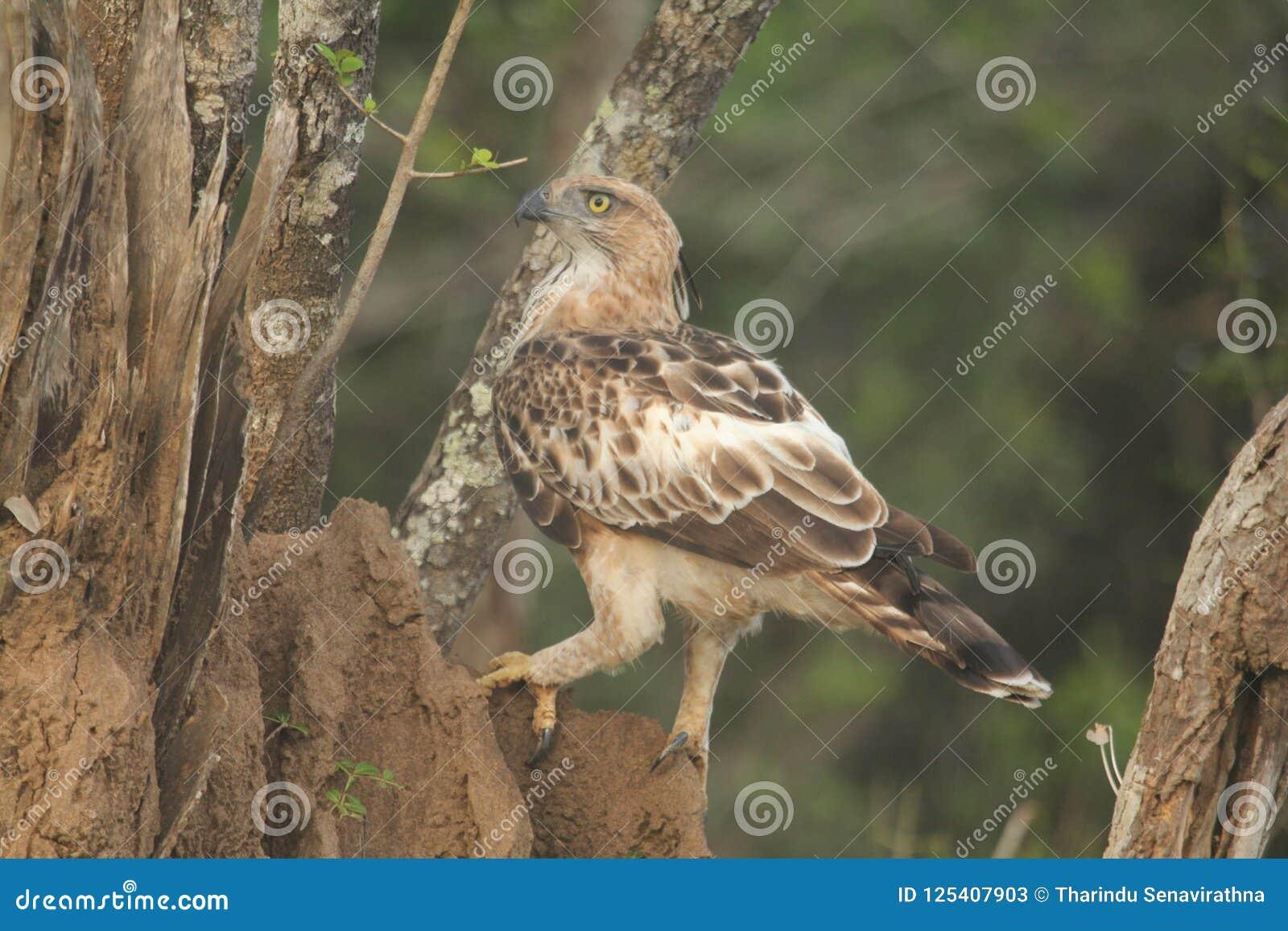 L obiettivo dell immagine, Hawk Eagle crestato, cresta dritta lunga, sale raramente, piano di ali