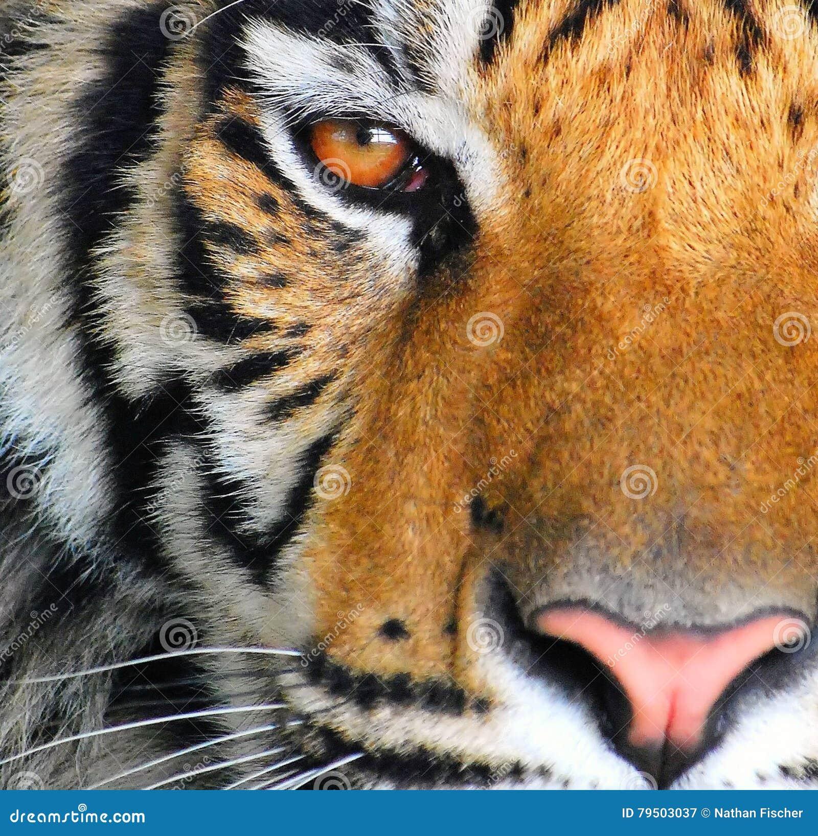 L oeil d un tigre