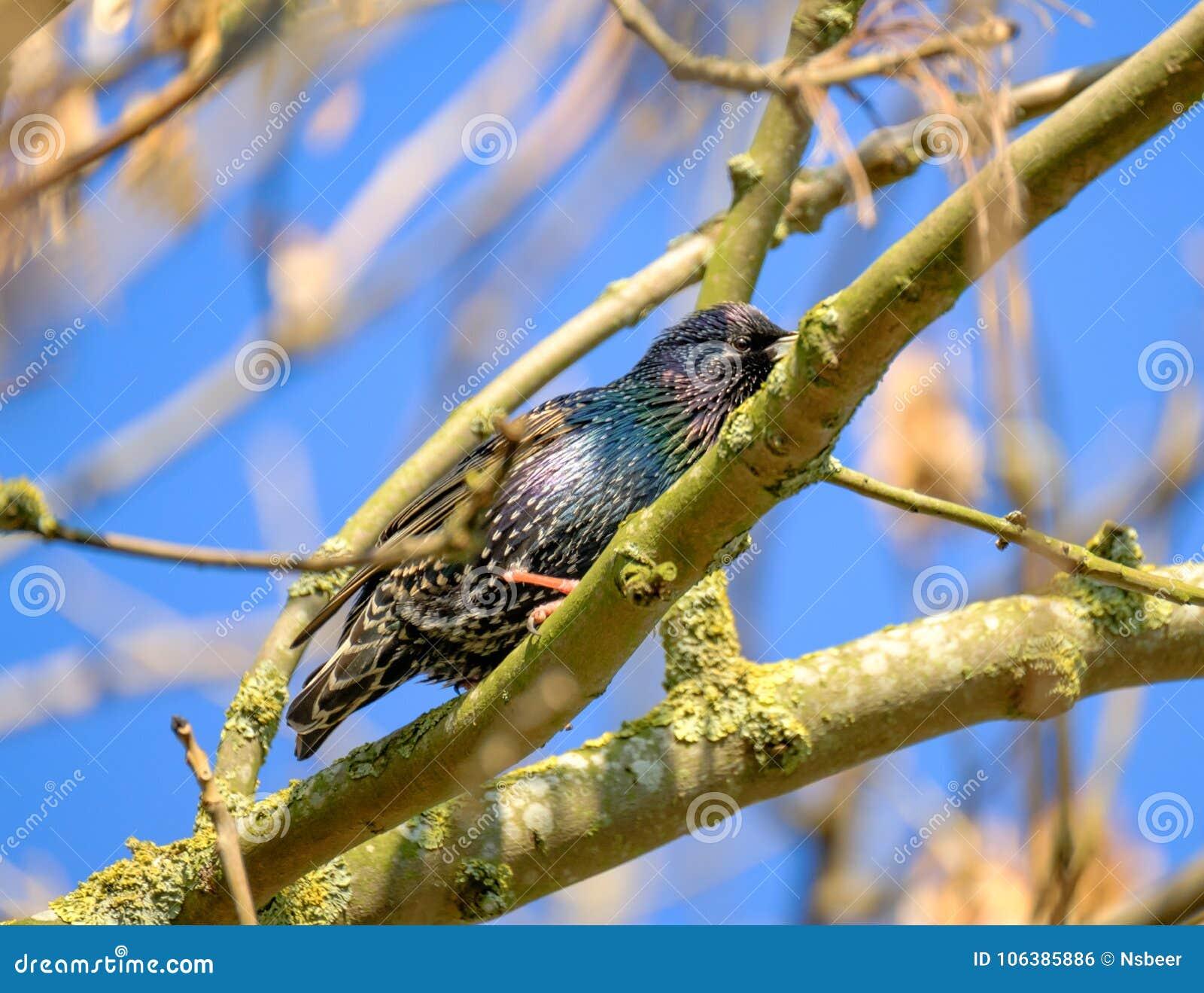 L oiseau adulte d étourneau vu était perché sur un arbre sauvage de sycomore situé dans une forêt