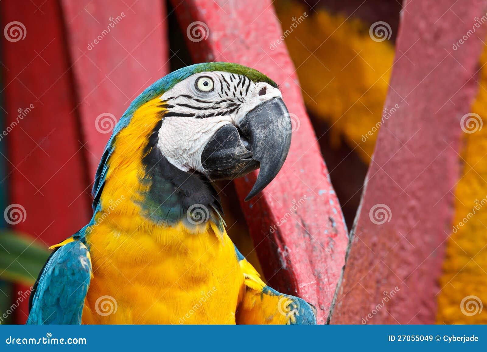l 39 oiseau bleu et jaune de macaw image stock image du assez exotique 27055049. Black Bedroom Furniture Sets. Home Design Ideas