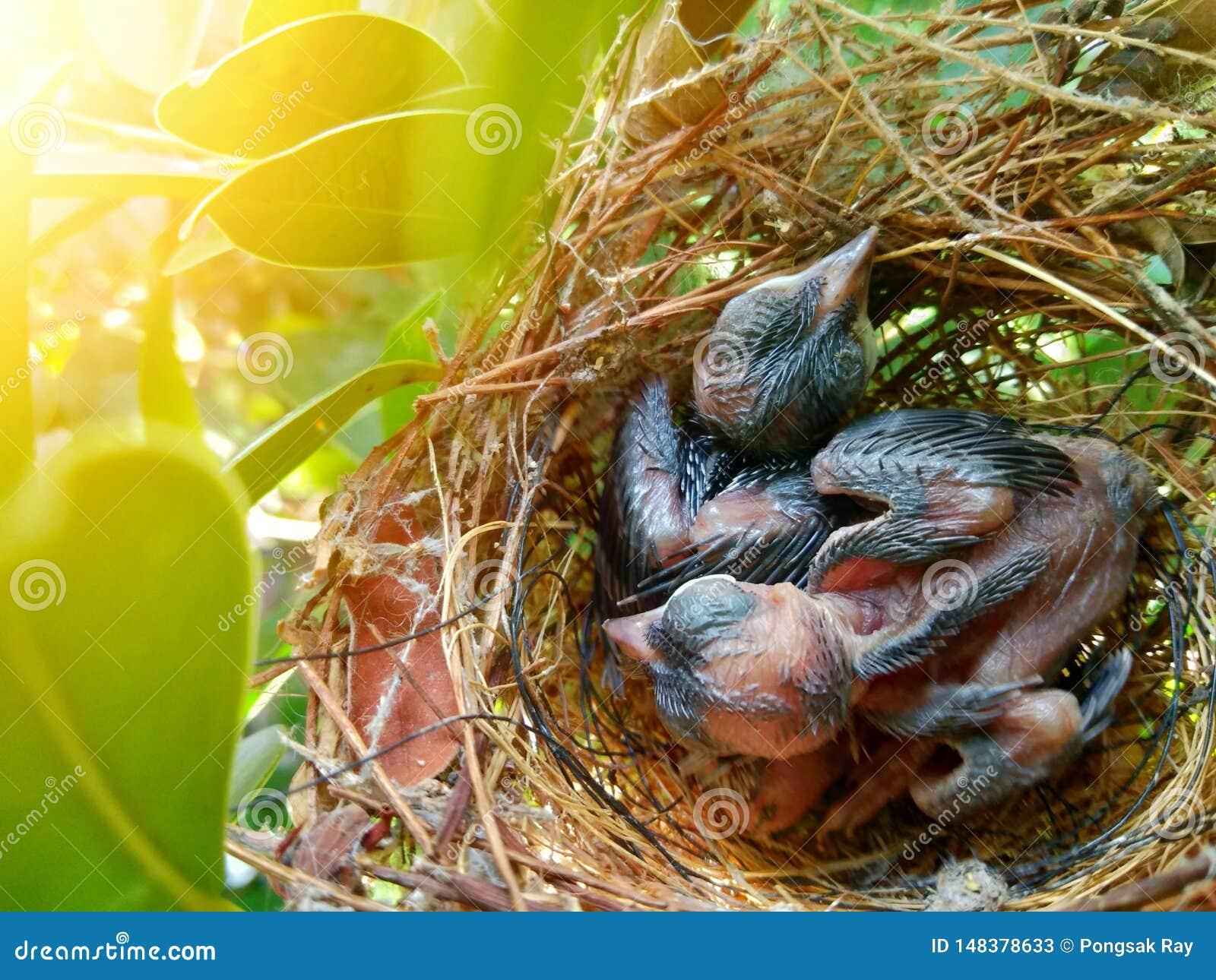L oiseau de bébé attend la nourriture de la mère dans le nid