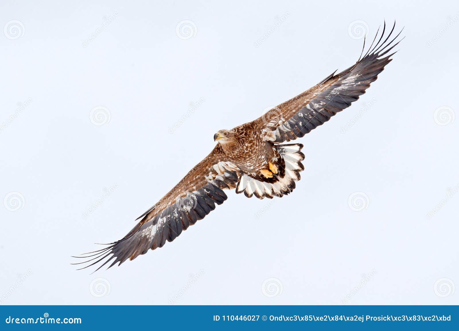 L oiseau sur le vol de ciel Blanc-a coupé la queue l aigle, albicilla de Haliaeetus, Hokkaido, Japon Scène de faune d action avec