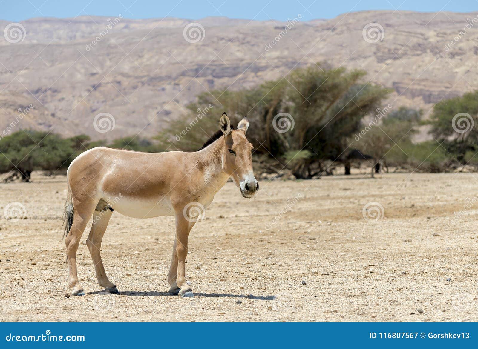 L onagro è un emione selvaggia asiatica marrone dell asino