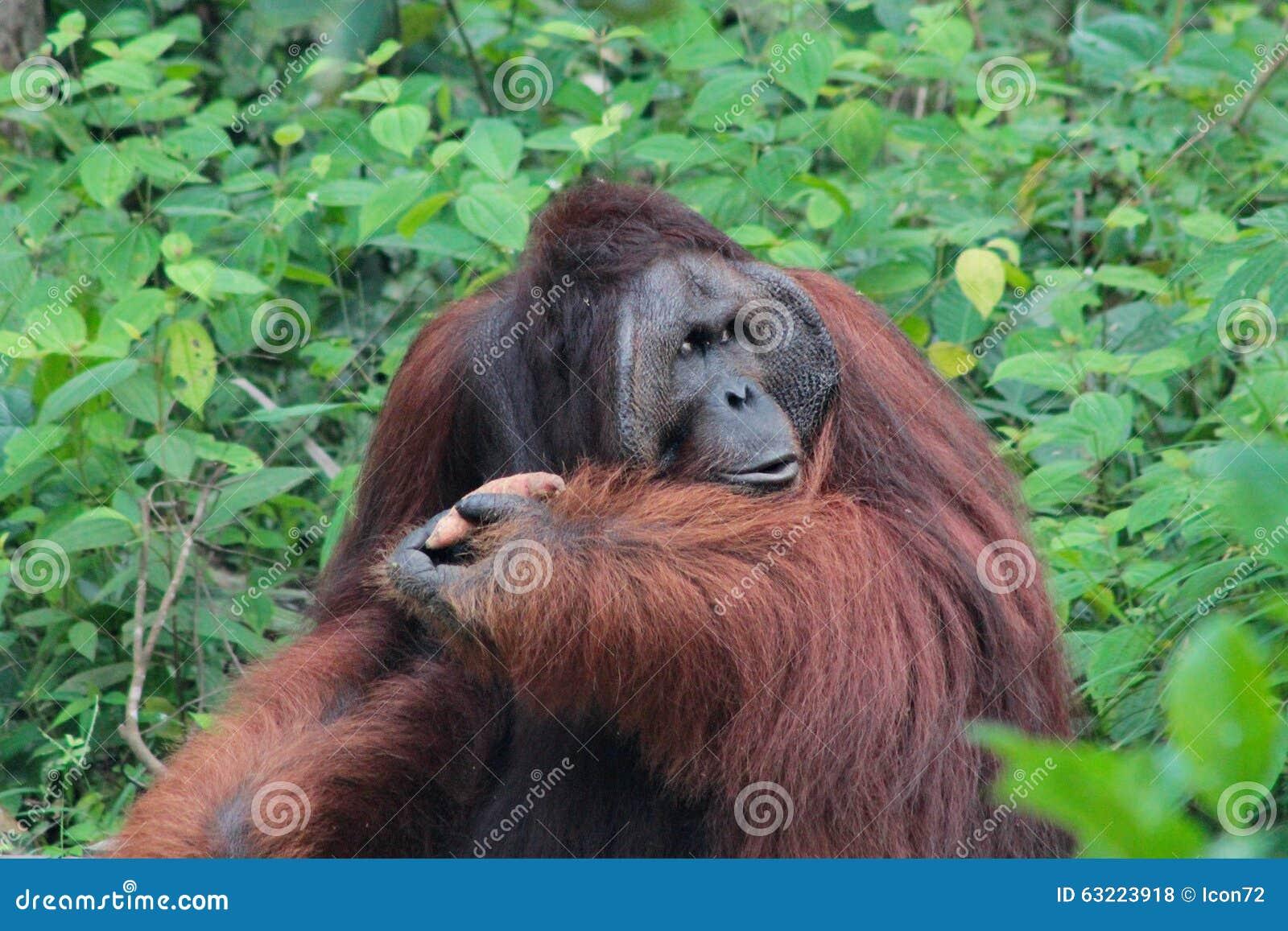 L orang-outan légendaire du Bornéo de mâle alpha (appelé Richie) au