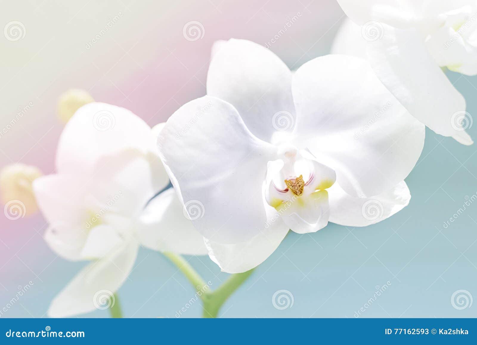 L orchidée blanche sensible, orchidée fleurit la branche