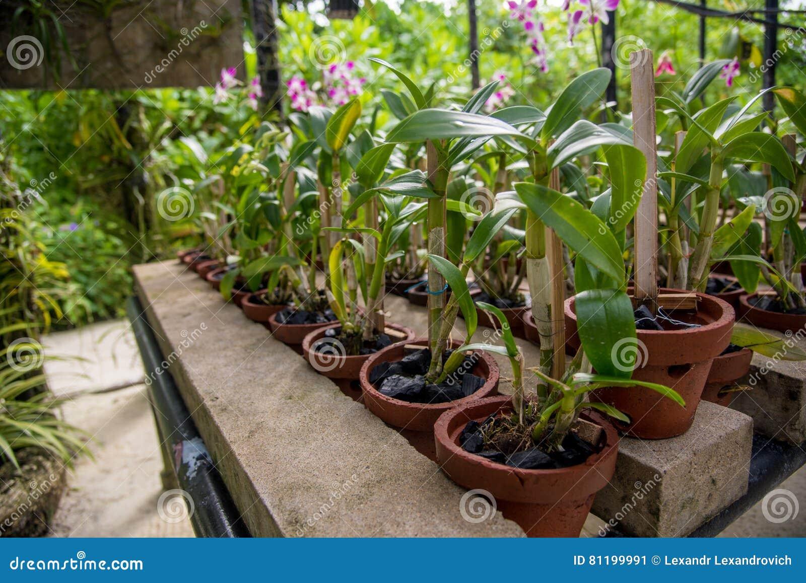 L\'orchidée Fleurit Dans Les Pots Font Du Jardinage En Serre Chaude ...