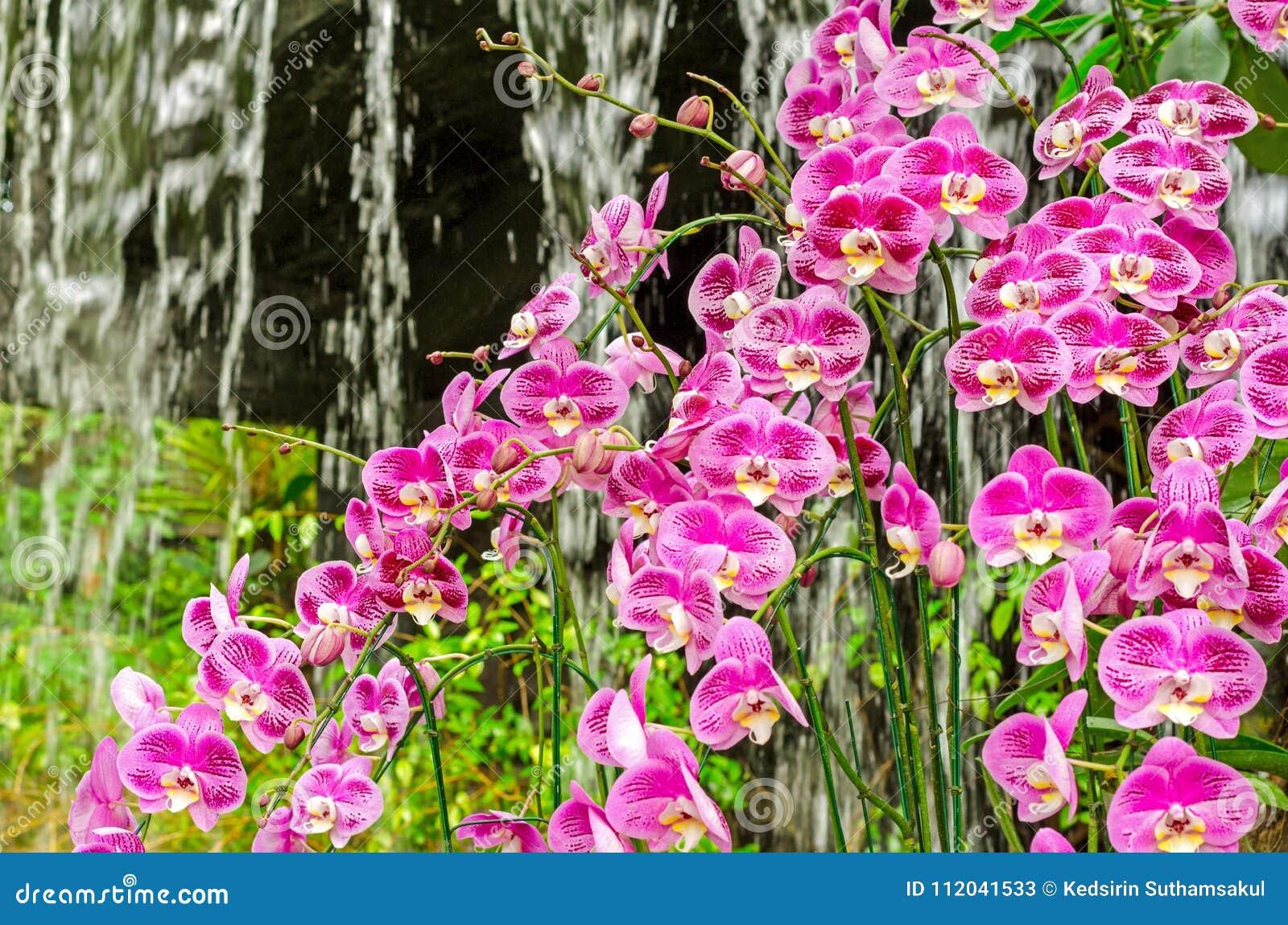 L\'orchidée Pourpre Fleurit Le Groupe Dans Le Jardin De Serre ...