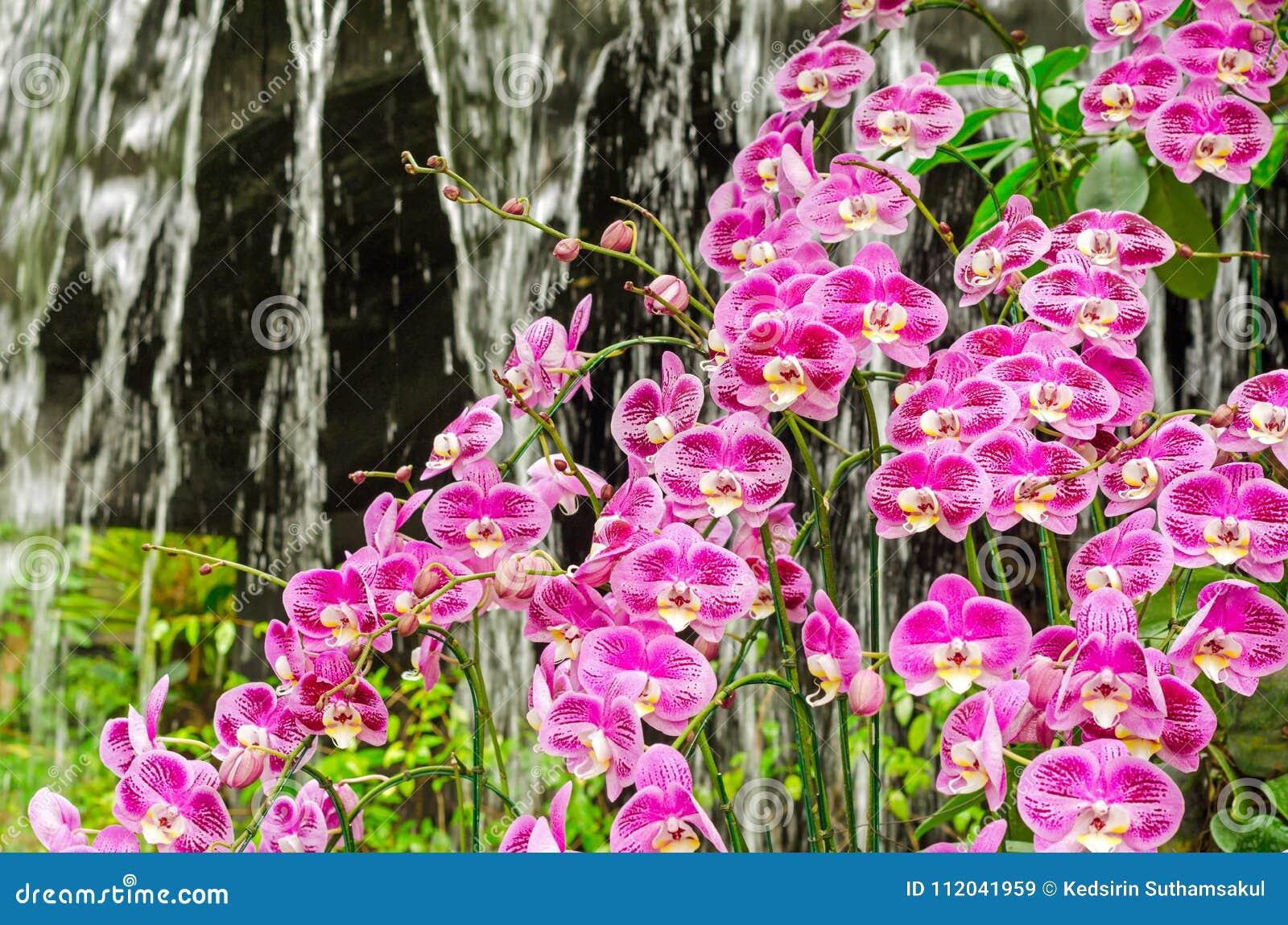L\'orchidée Pourpre Fleurit Le Groupe Dans Le Jardin De Serre Chaude ...
