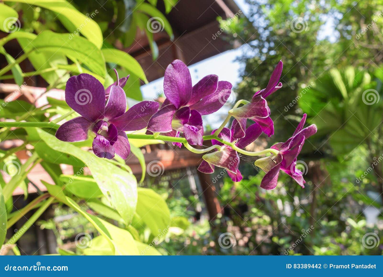 L\'orchidée Pourpre Fleurit Le Naturel Dans Le Jardin Photo stock ...