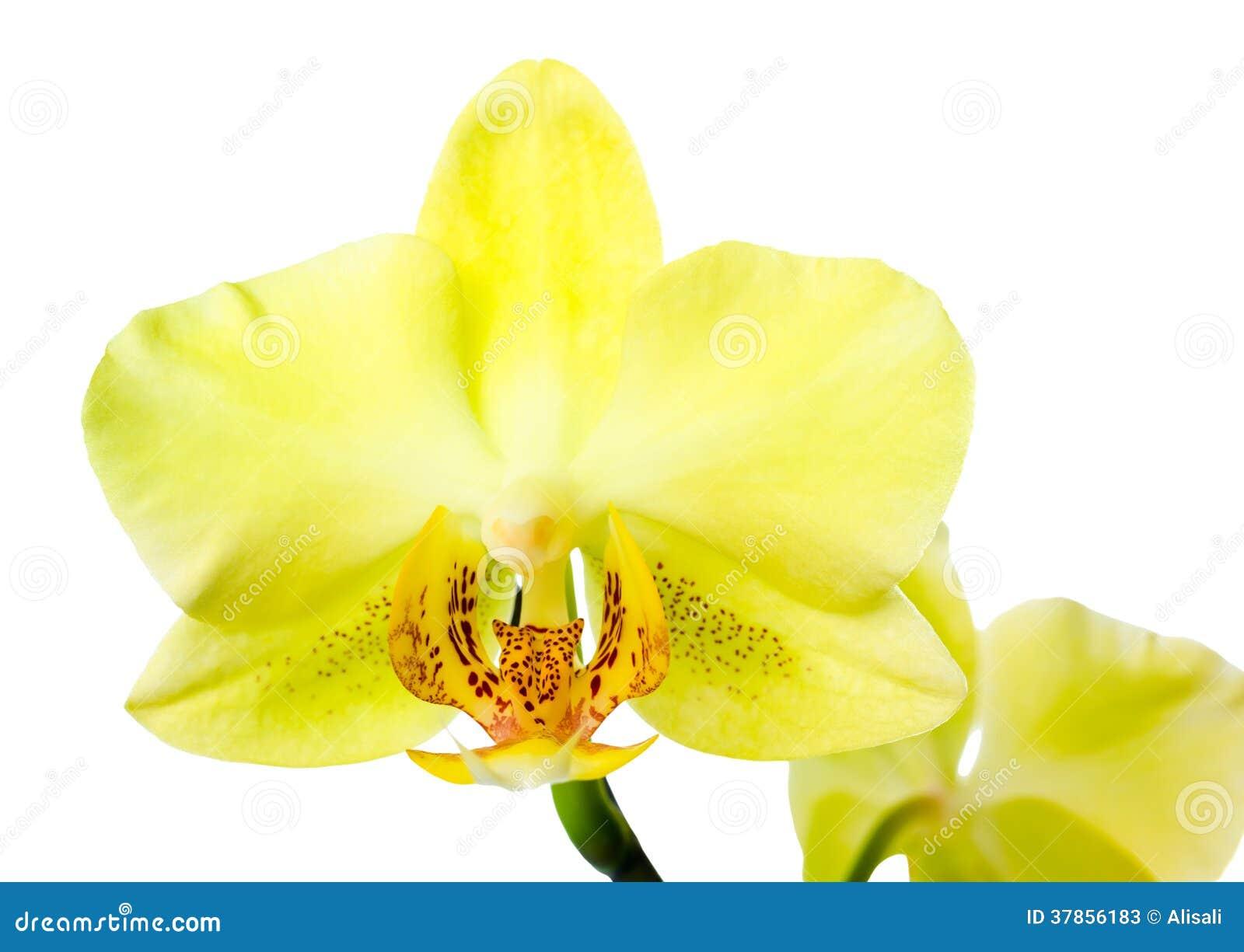 L 39 orchidea gialla di fioritura isolata sui precedenti for Orchidea fioritura