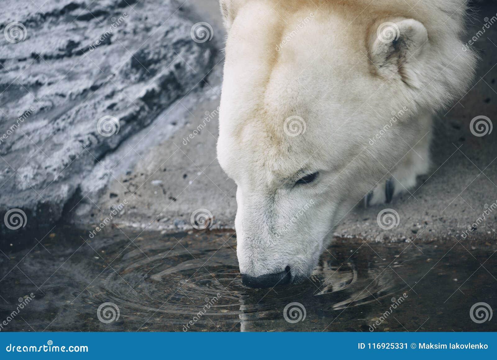 L orso polare beve l acqua La testa degli orsi polari
