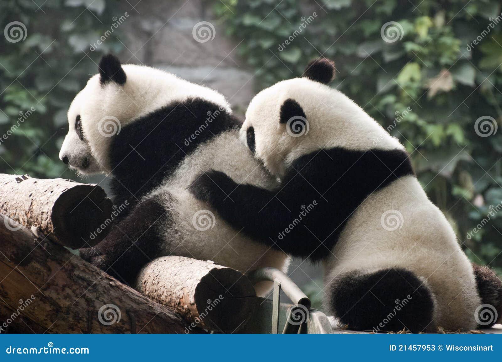 l 39 ours cub mignon de panda g ant jouent zoo chine de p kin photos stock image 21457953. Black Bedroom Furniture Sets. Home Design Ideas