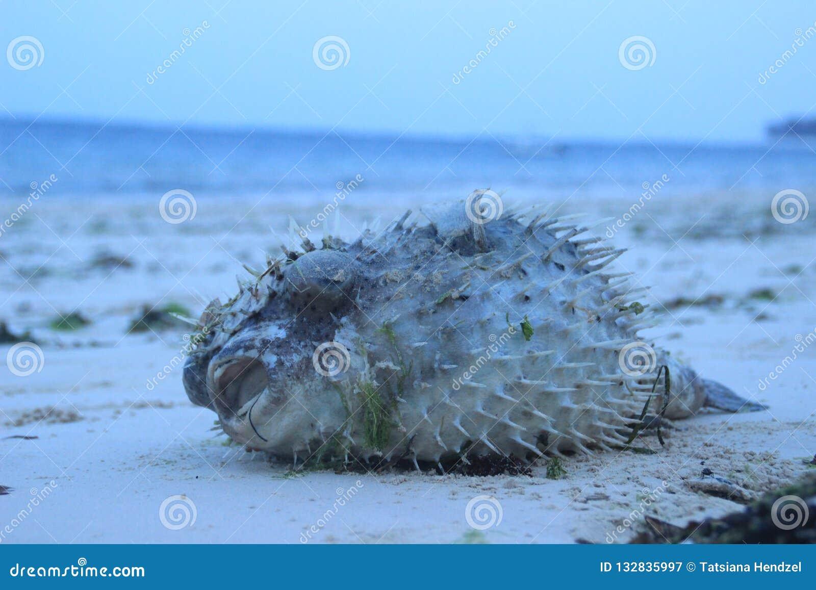 L oursin se trouve sur la plage de l Océan Indien au Kenya, Mombasa